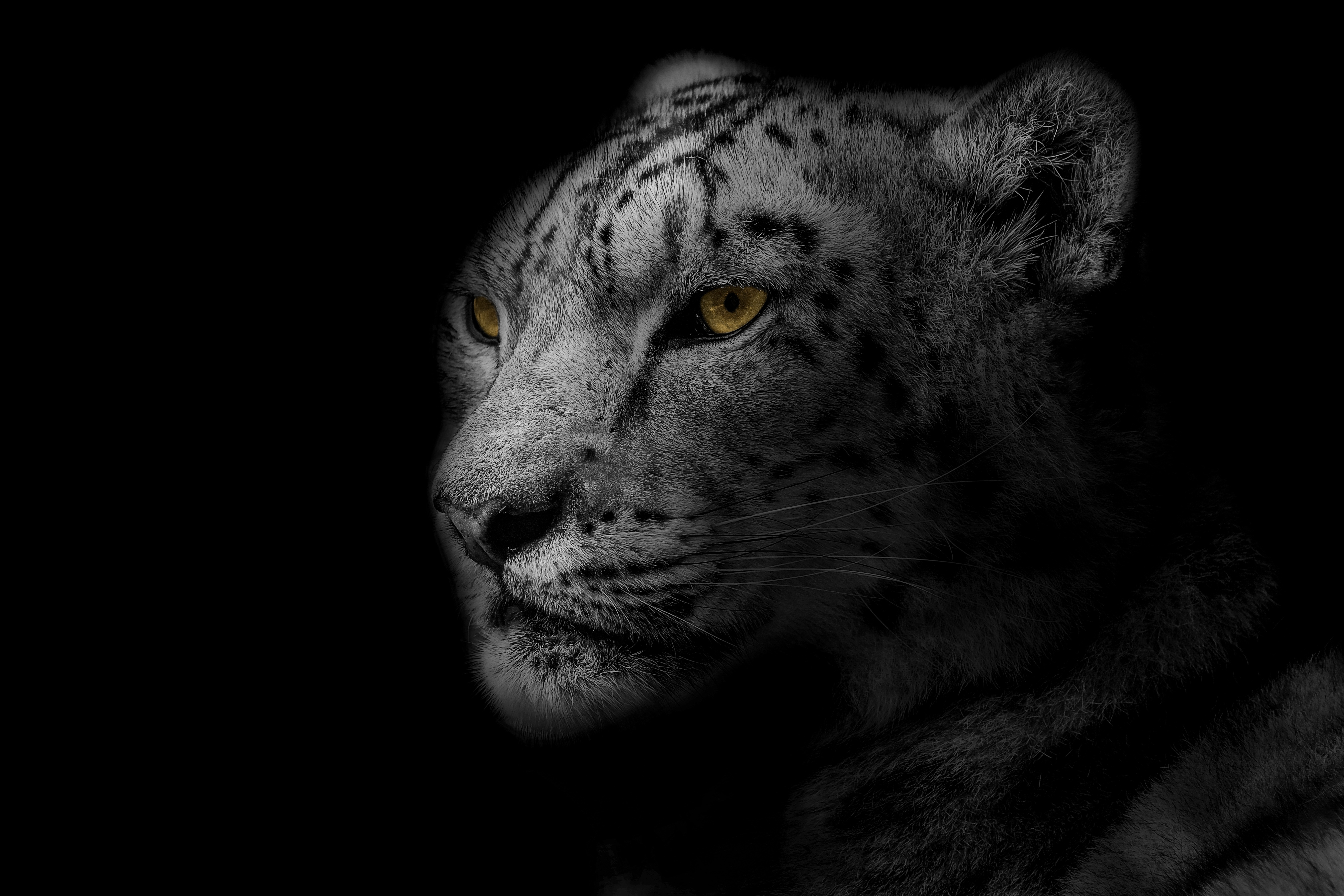 85670 download wallpaper Animals, Leopard, Muzzle, Spotted, Spotty, Predator, Big Cat, Bw, Chb screensavers and pictures for free