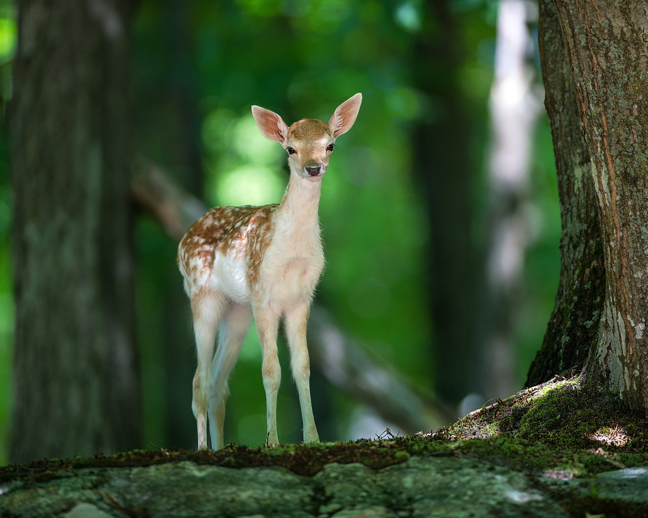 14926 download wallpaper Animals, Deers screensavers and pictures for free