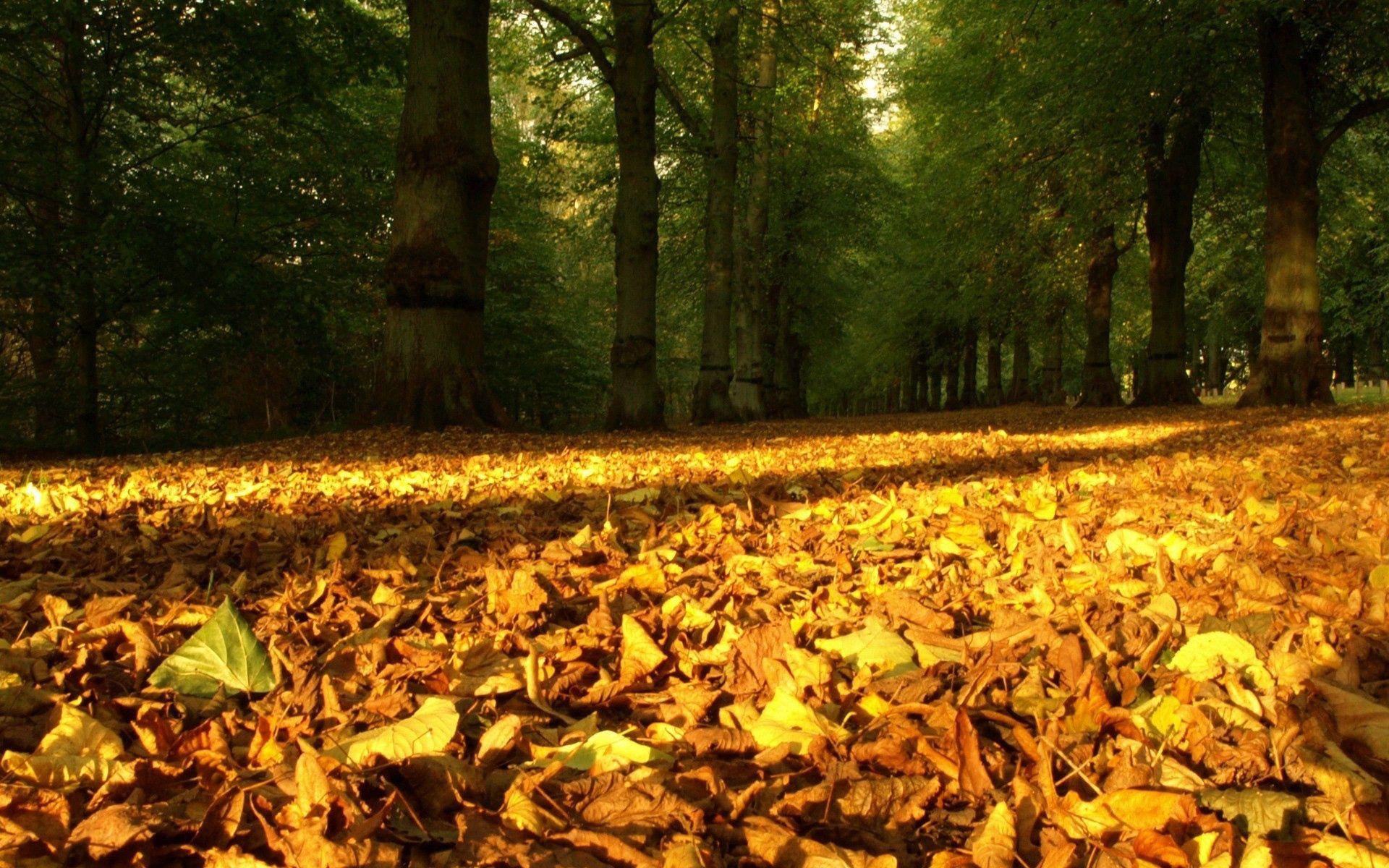 91065 скачать Желтые обои на телефон бесплатно, Природа, Деревья, Осень, Листья, Лес, Земля, Сухие Желтые картинки и заставки на мобильный