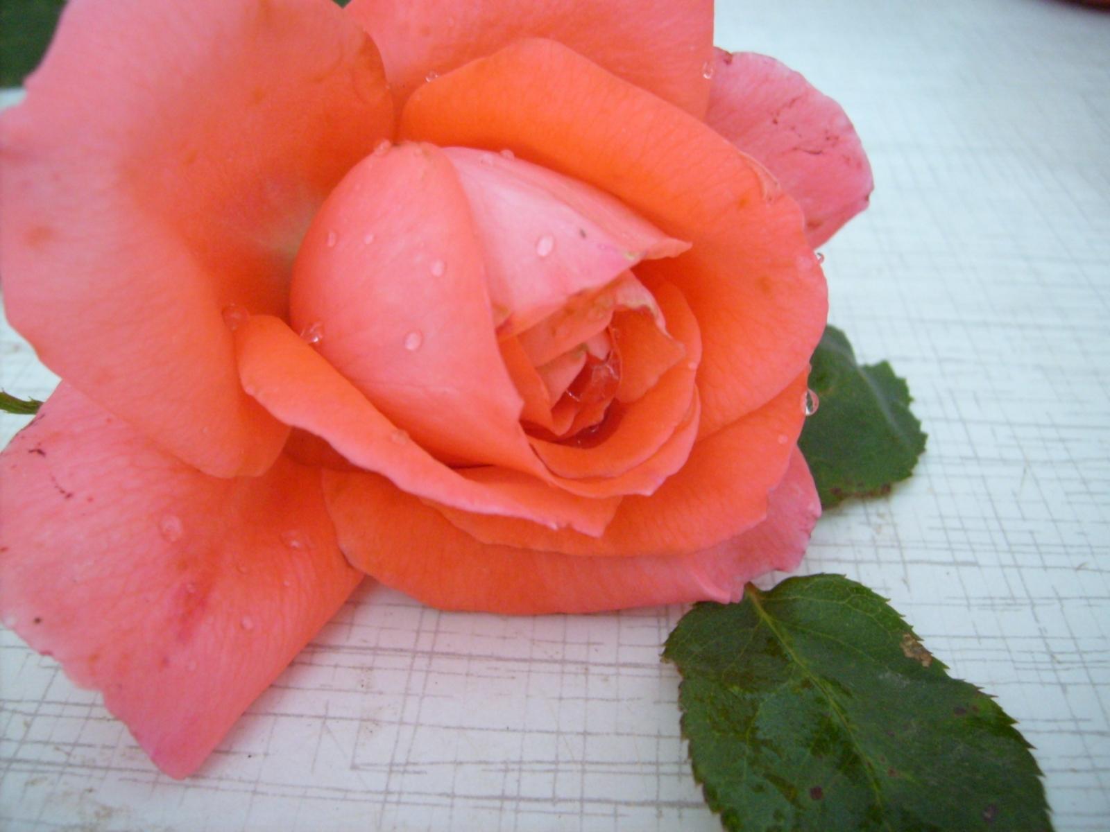 1922 скачать обои Растения, Цветы, Розы - заставки и картинки бесплатно
