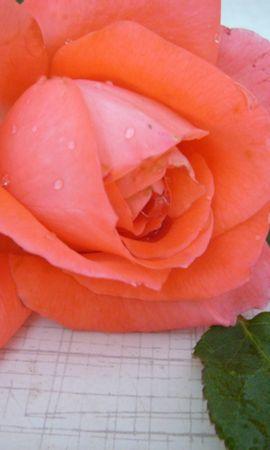 1922 descargar fondo de pantalla Plantas, Flores, Roses: protectores de pantalla e imágenes gratis