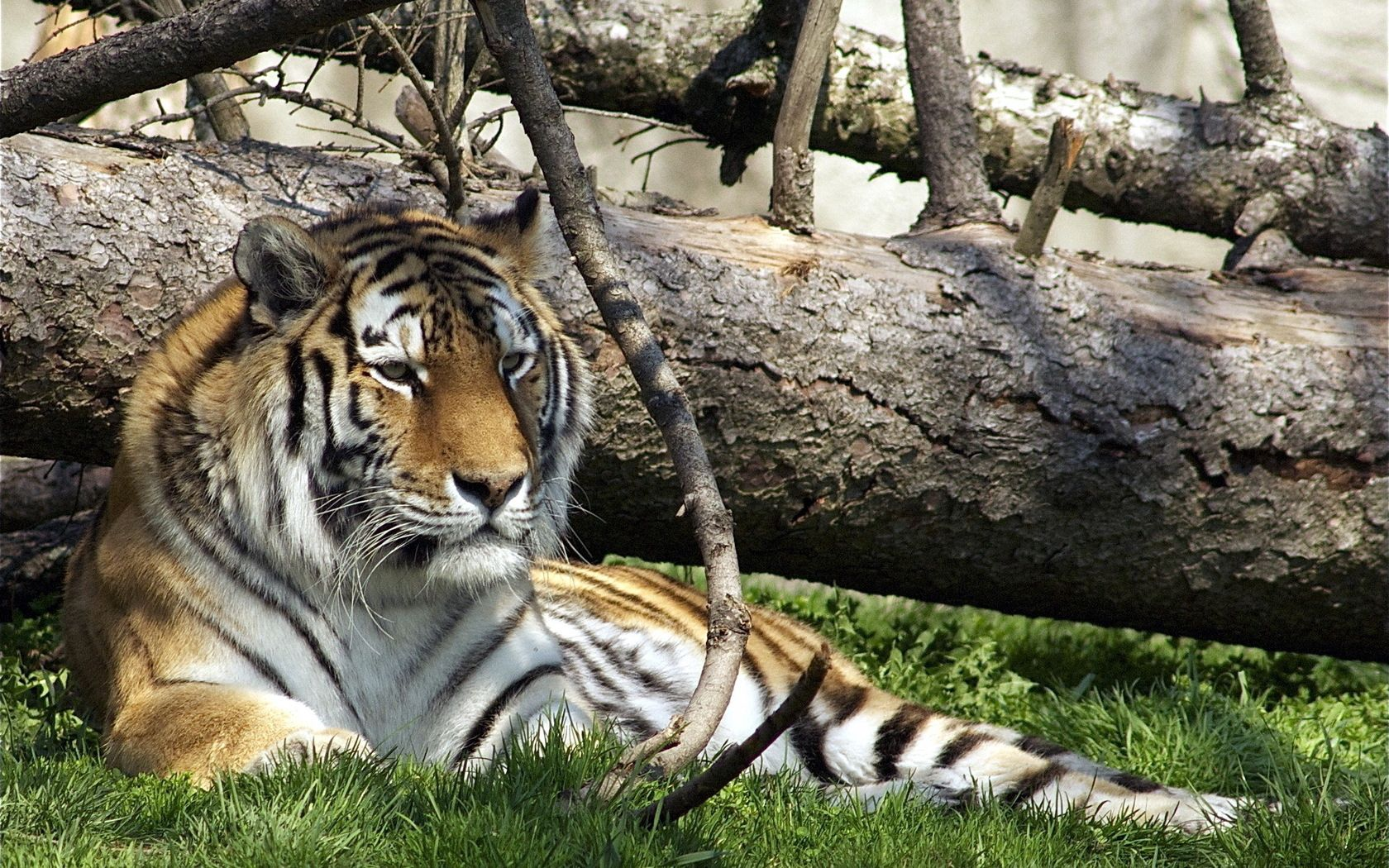 146669 download wallpaper Animals, Tiger, Predator, Big Cat, Grass, To Lie Down, Lie screensavers and pictures for free