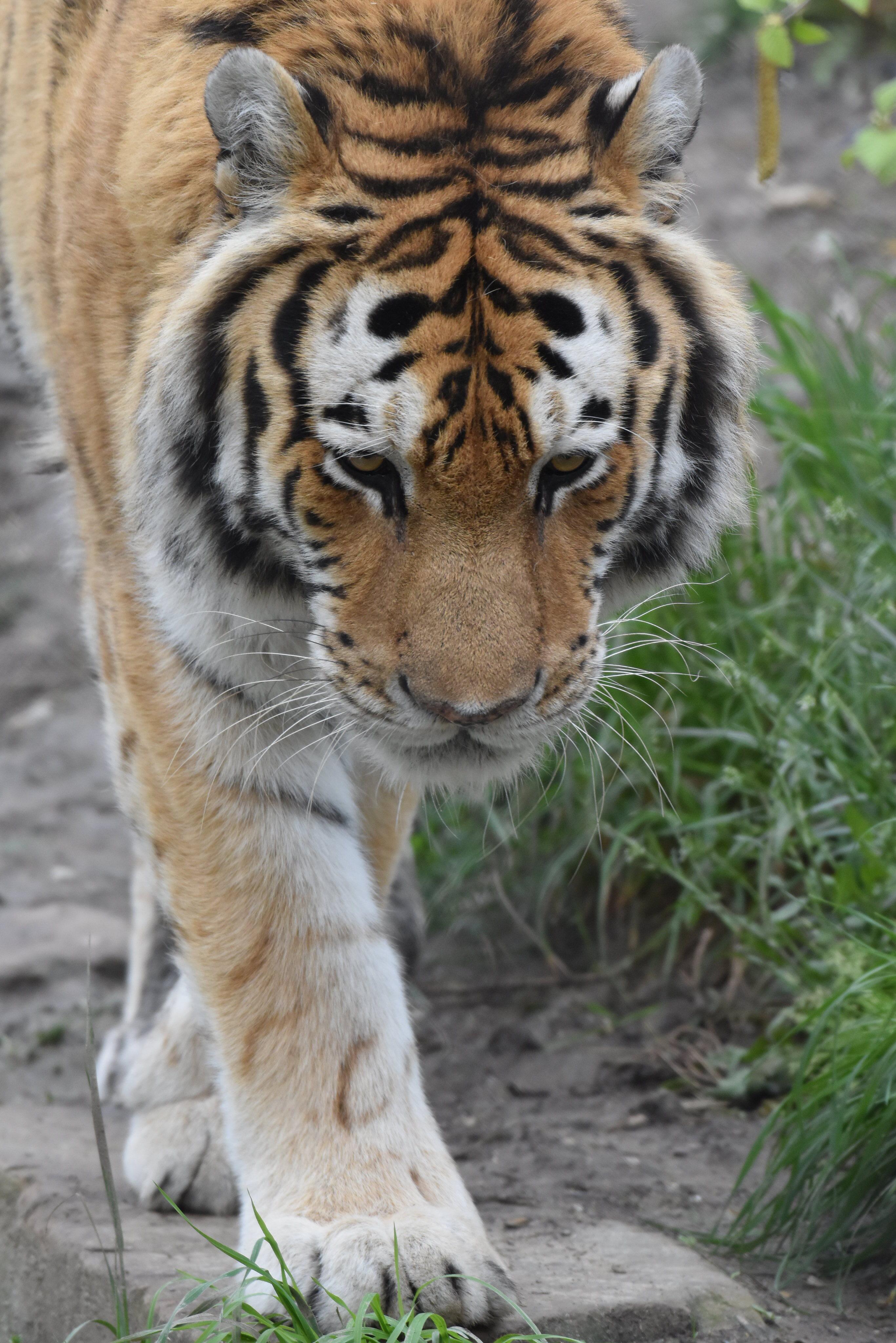 65826 скачать обои Животные, Тигр, Морда, Лапы, Трава - заставки и картинки бесплатно