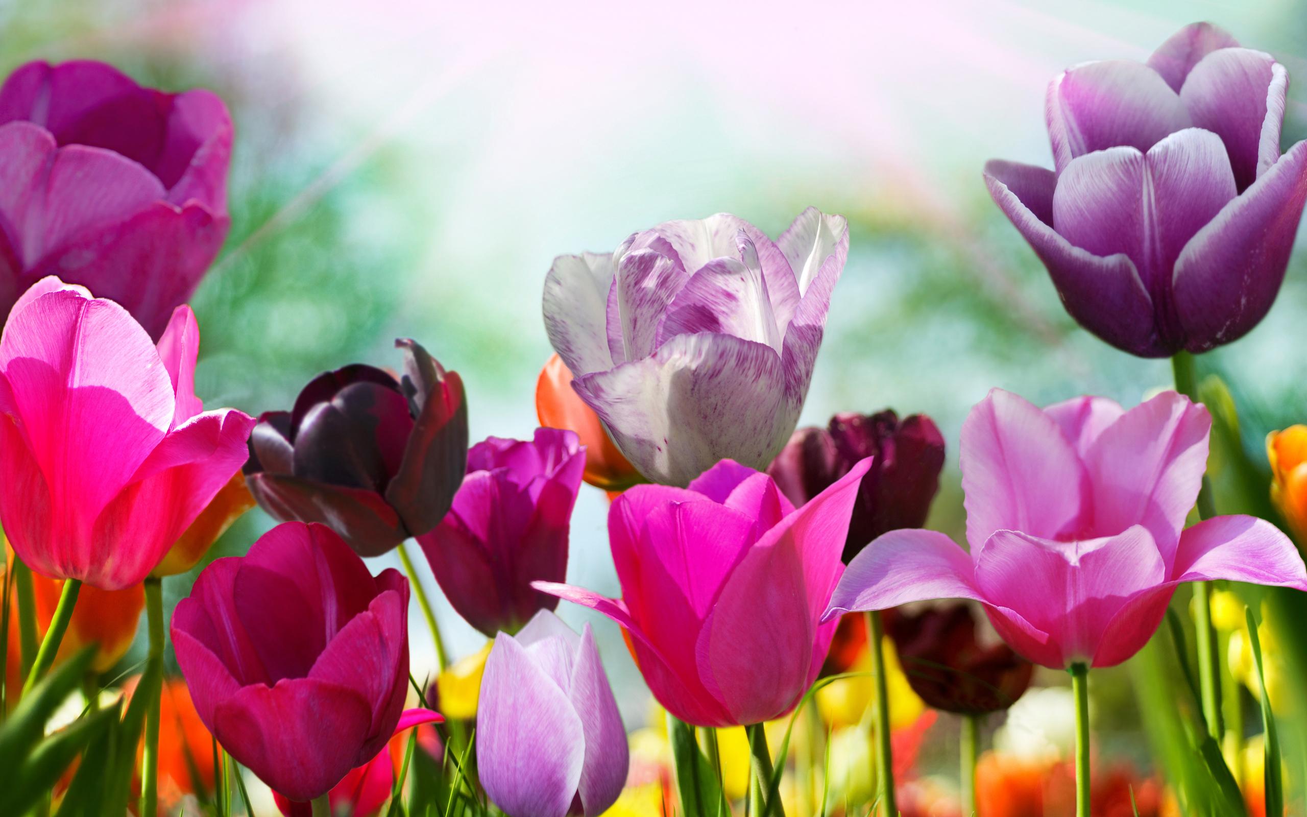 18749 скачать обои Растения, Цветы, Тюльпаны - заставки и картинки бесплатно