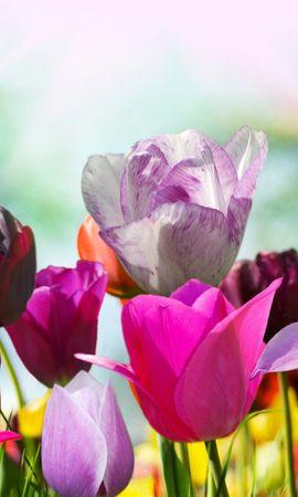 18749 télécharger le fond d'écran Plantes, Fleurs, Tulipes - économiseurs d'écran et images gratuitement