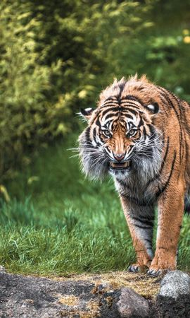 133015 download wallpaper Animals, Tiger, Grass, Rock, Stone, Greens, Predator screensavers and pictures for free