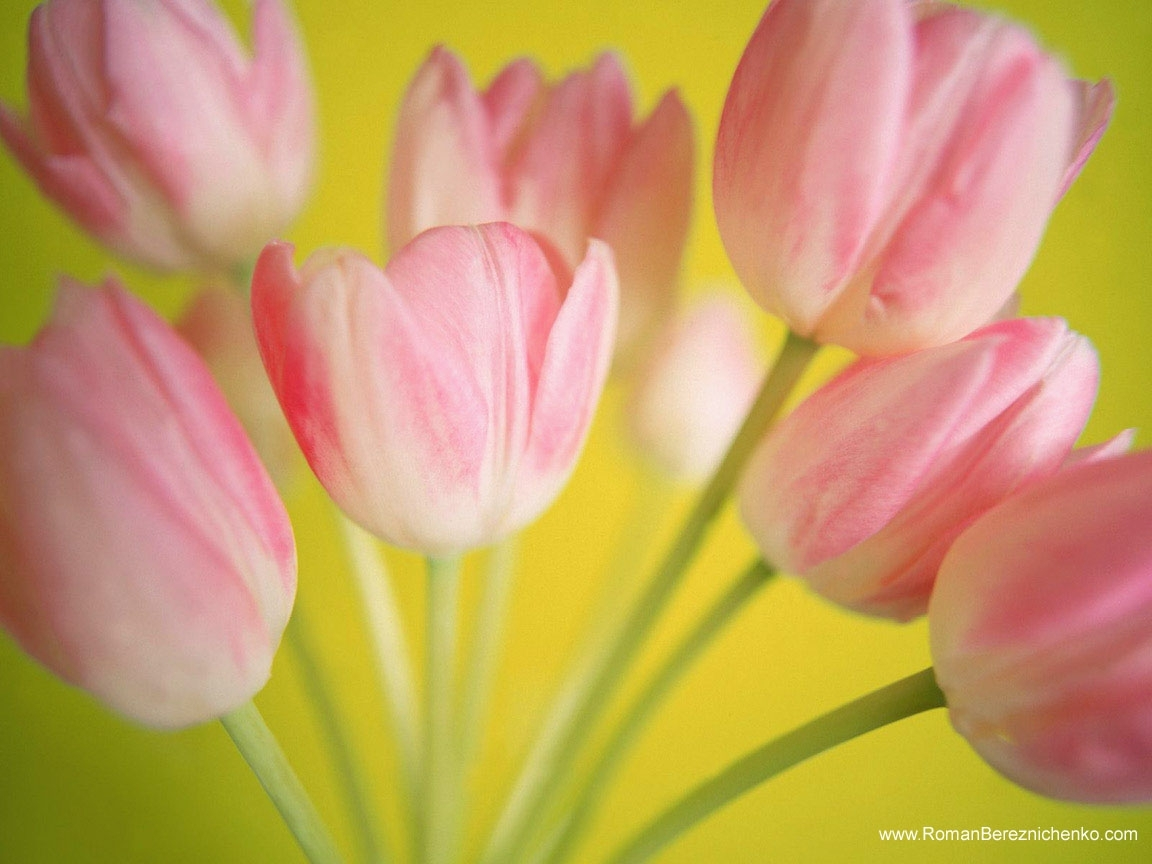 9093 скачать обои Праздники, Растения, Тюльпаны, Открытки, 8 Марта - заставки и картинки бесплатно