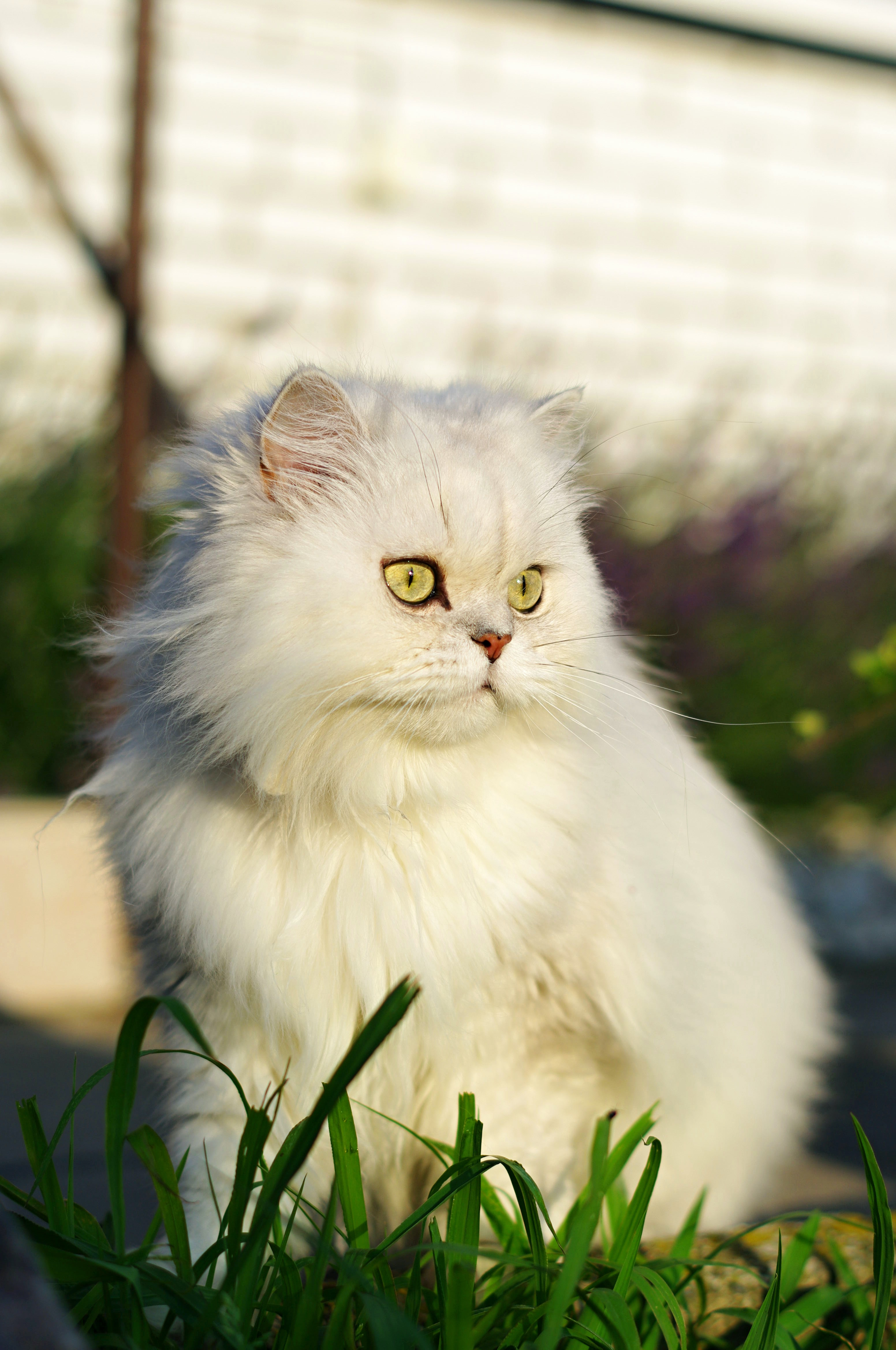 156035 Screensavers and Wallpapers Pet for phone. Download Animals, Cat, Pet, Sight, Opinion, Fluffy, Grass pictures for free