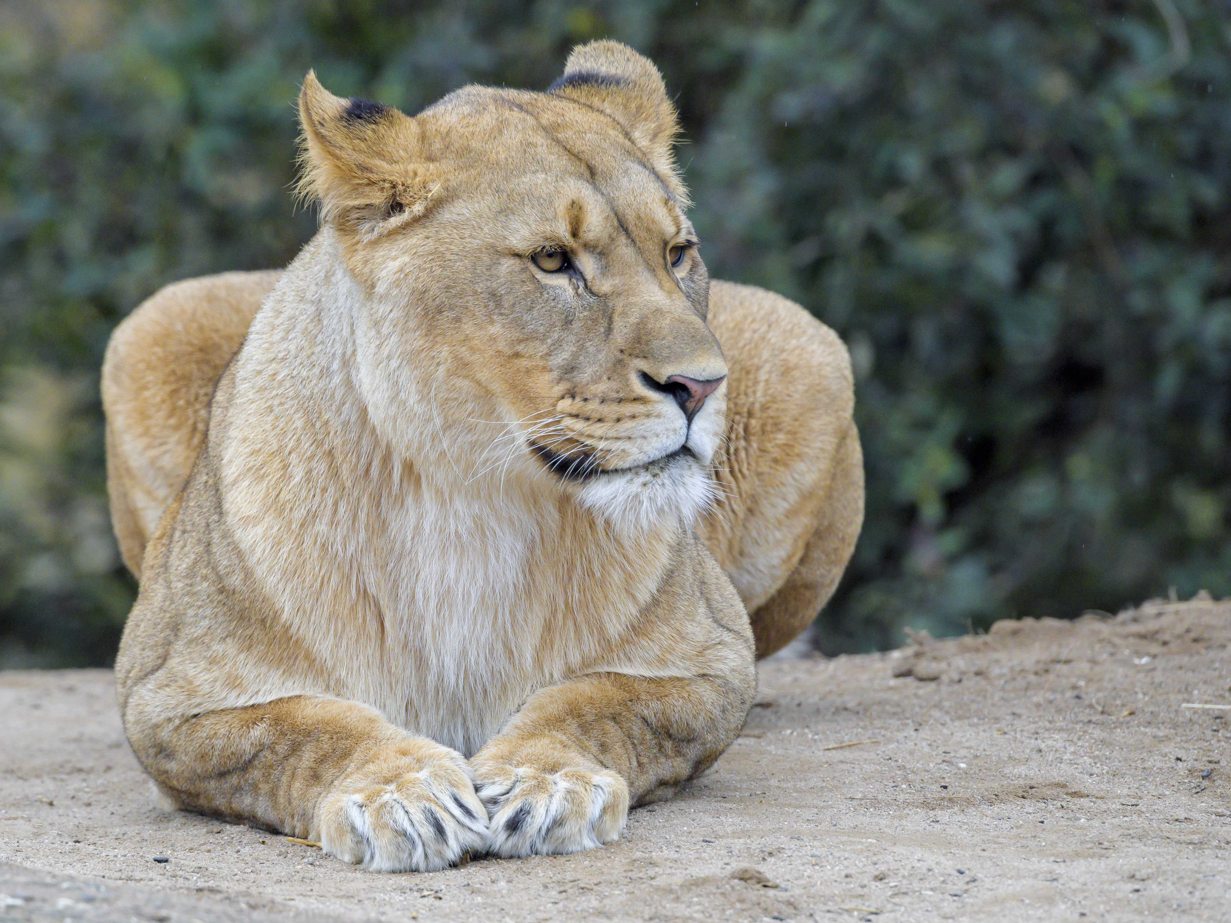 140055 download wallpaper Animals, Lioness, Predator, Big Cat, Wildlife screensavers and pictures for free