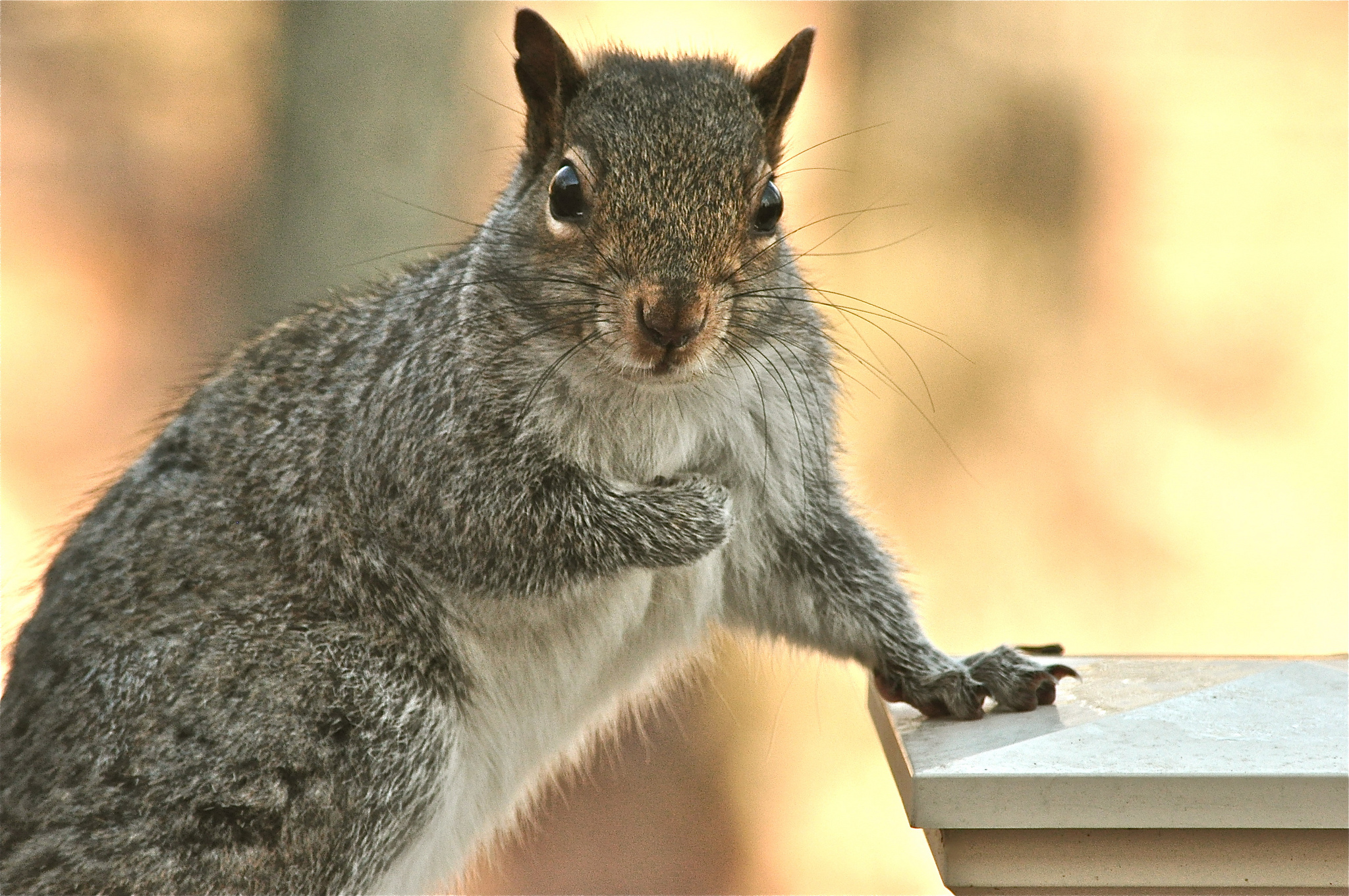 109435 download wallpaper Animals, Squirrel, Sight, Opinion, Paw, Animal screensavers and pictures for free