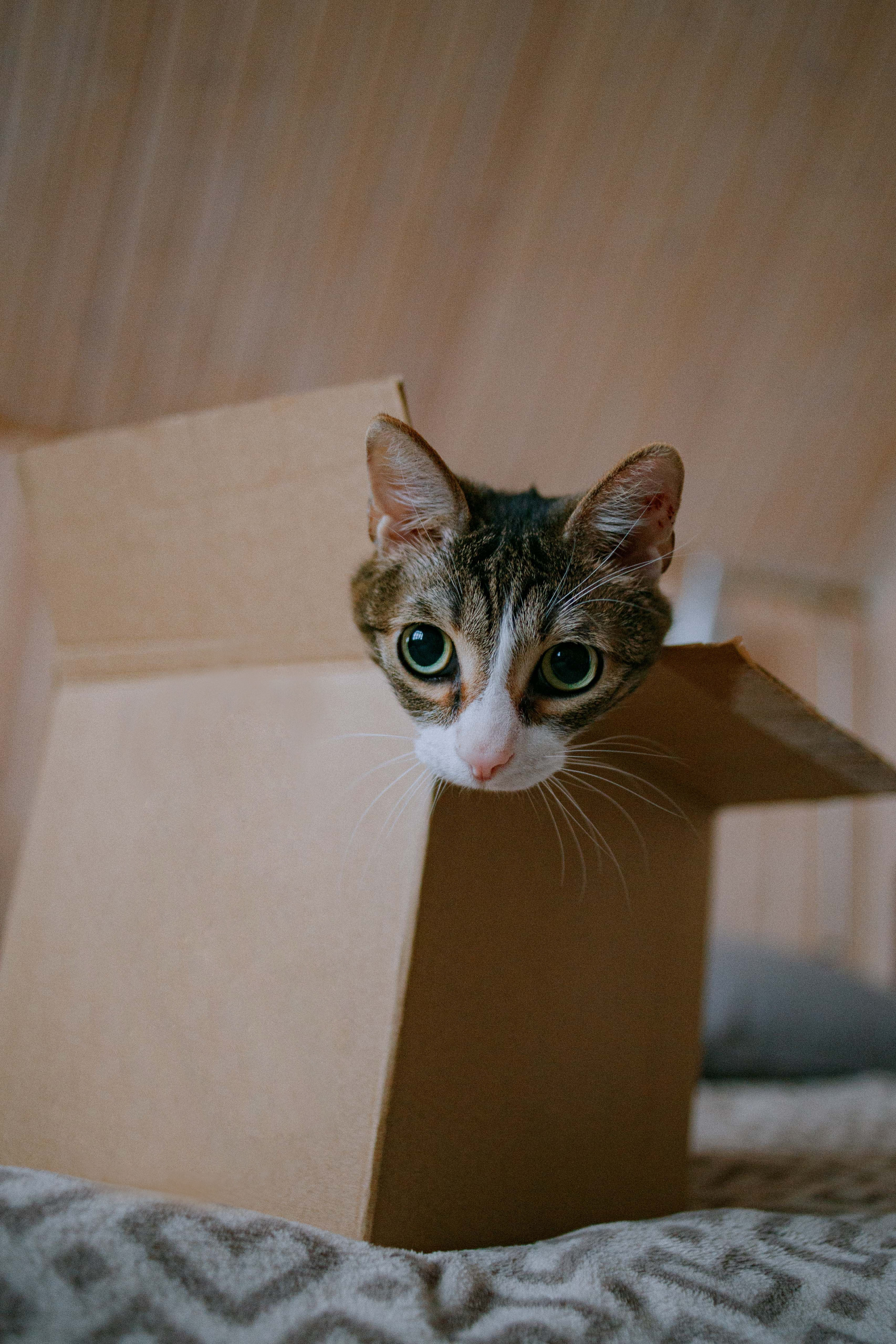 149737 download wallpaper Animals, Cat, Nice, Sweetheart, Funny, Box screensavers and pictures for free