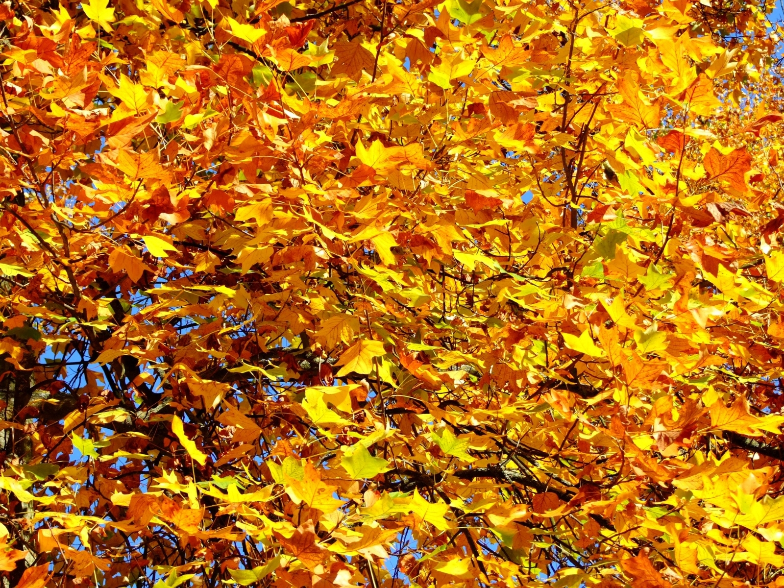 1463 download wallpaper Plants, Trees, Autumn, Leaves screensavers and pictures for free