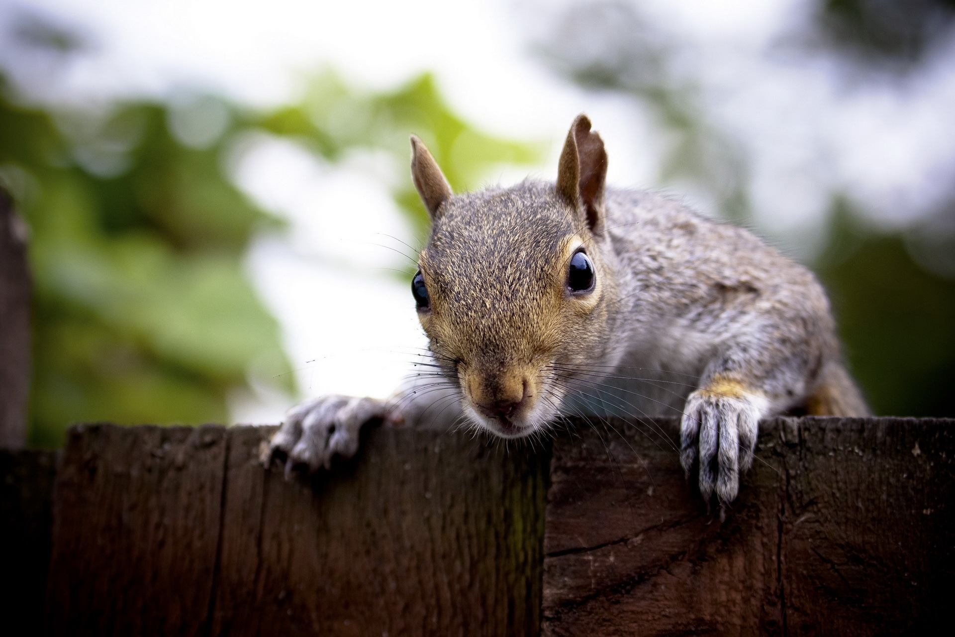 58968 download wallpaper Animals, Squirrel, Muzzle, Peek Out, Look Out screensavers and pictures for free