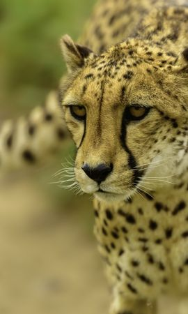 139082 download wallpaper Animals, Cheetah, Muzzle, Blur, Smooth screensavers and pictures for free