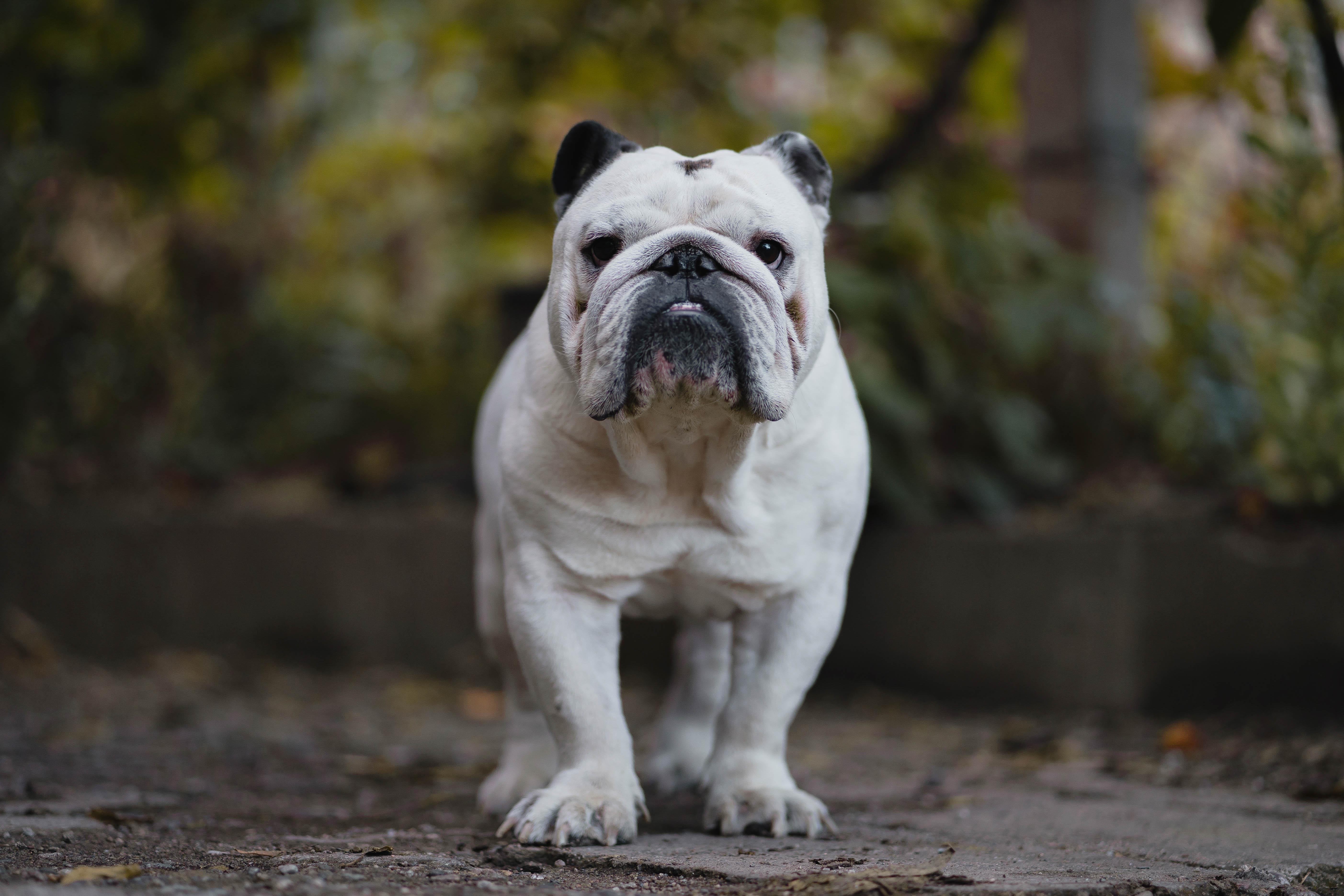 149339 download wallpaper Animals, English Bulldog, Bulldog, Dog, Serious screensavers and pictures for free
