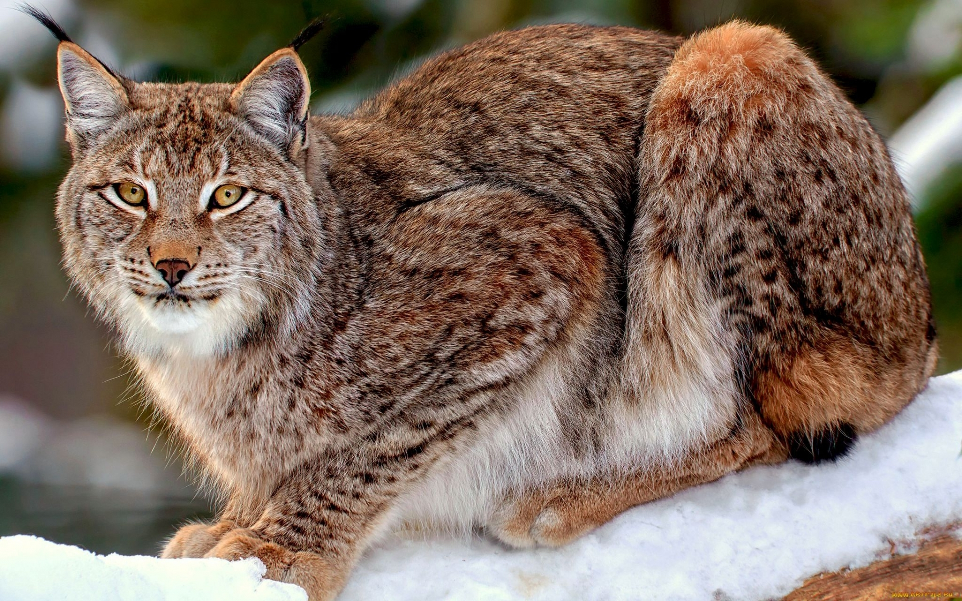 26700 download wallpaper Animals, Bobcats screensavers and pictures for free