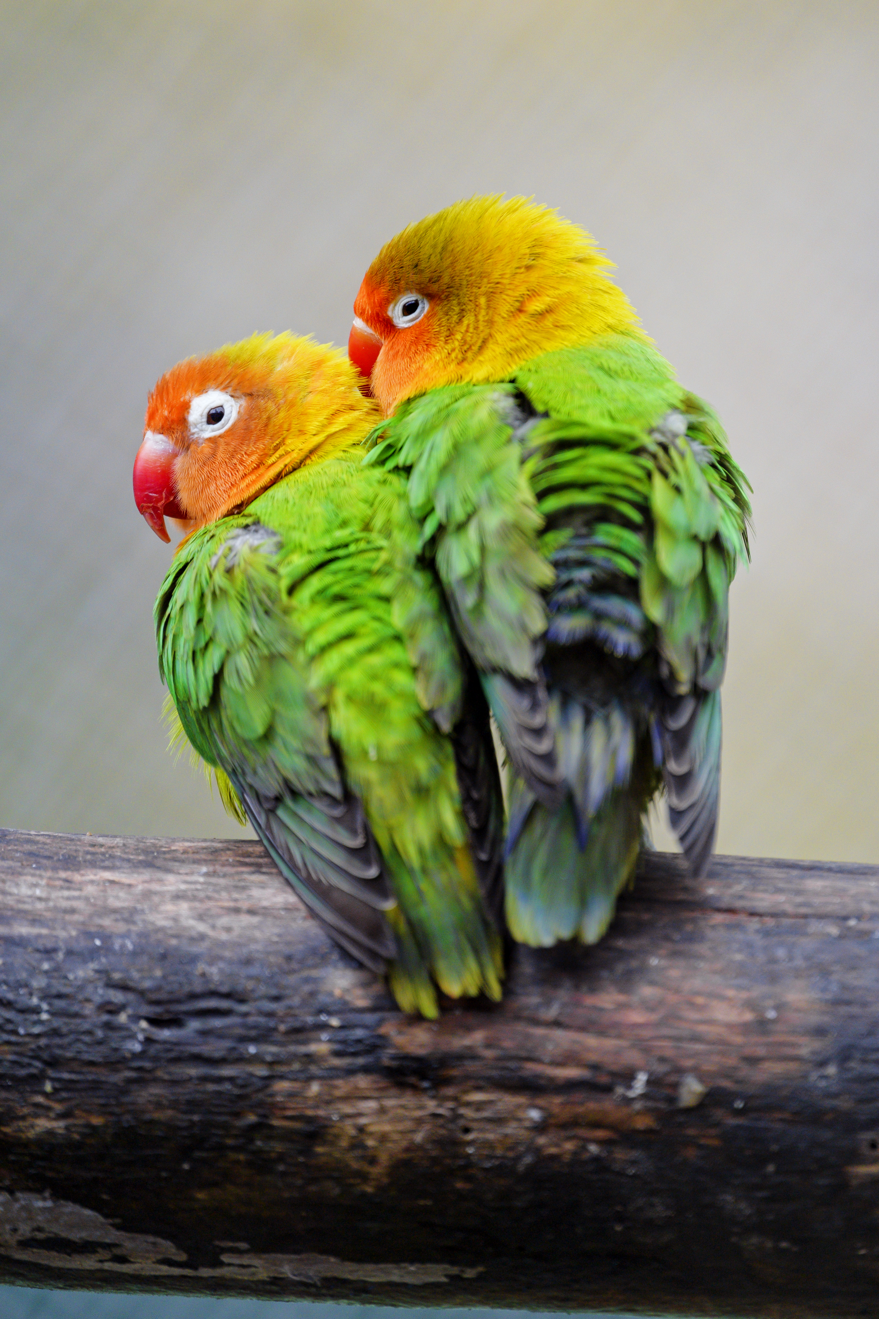 59001 Screensavers and Wallpapers Parrots for phone. Download Animals, Birds, Parrots, Multicolored, Motley, Couple, Pair, Inseparables, Lovebirds pictures for free