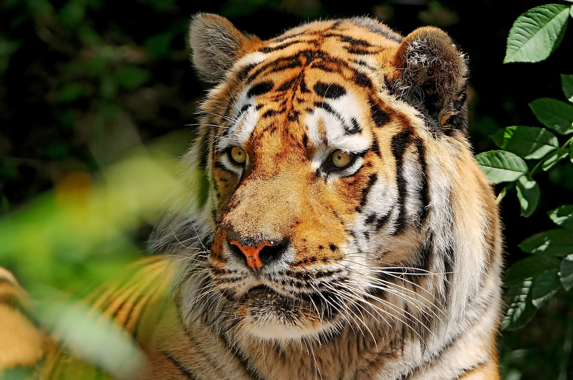 133965 download wallpaper Animals, Tiger, Grass, Predator, Blur, Smooth screensavers and pictures for free