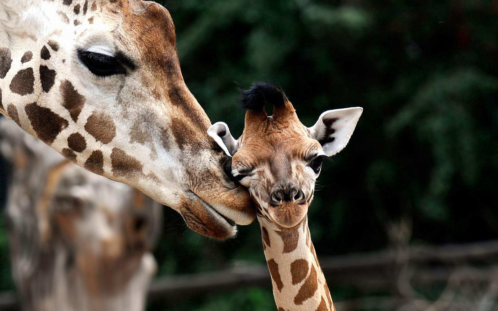 55724 免費下載壁紙 动物, 长颈鹿, 枪口, 莫尔达, 年轻, 幼崽, 斑, 斑点 屏保和圖片