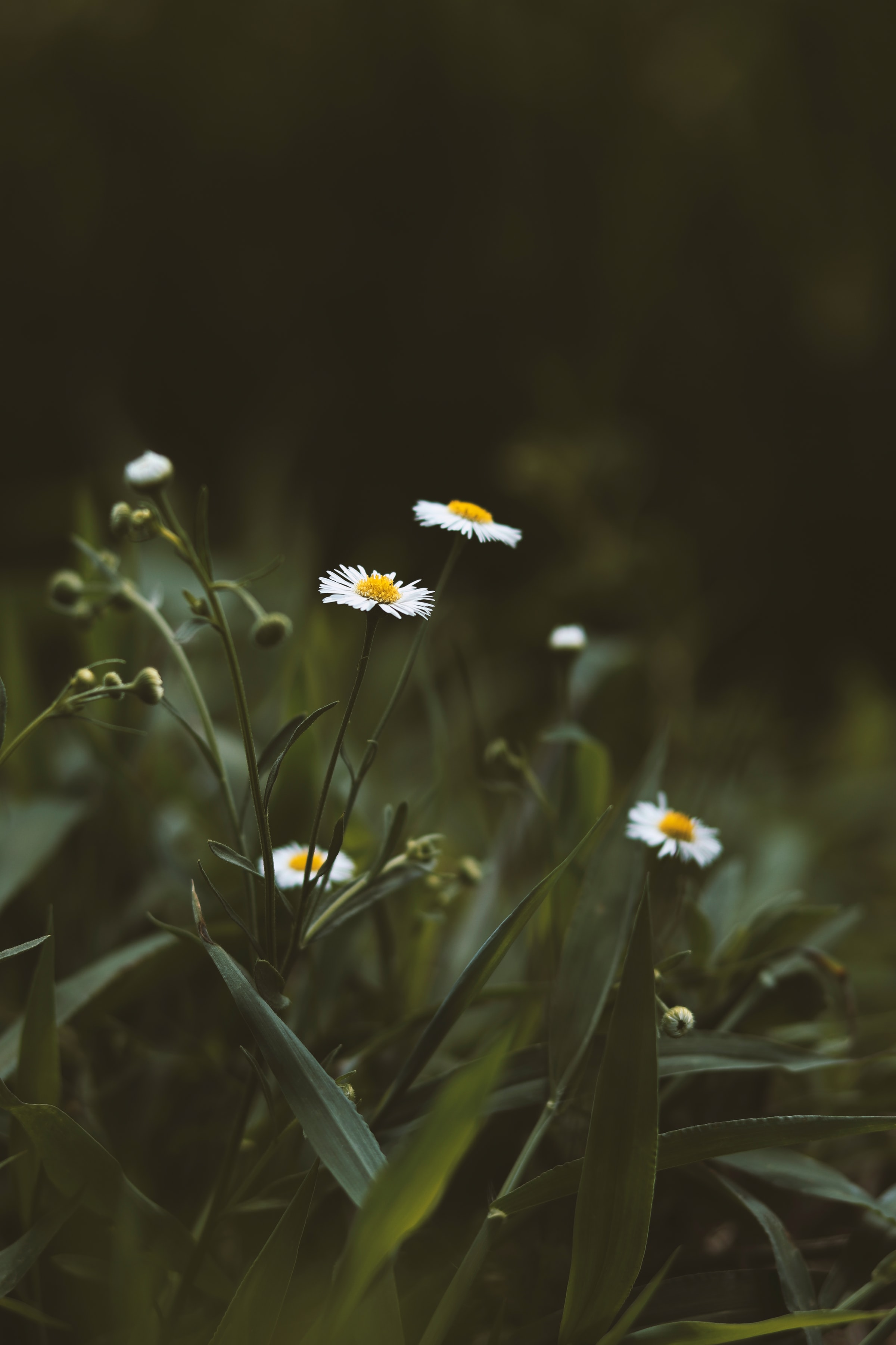 92352 download wallpaper Flowers, Chamomile, Camomile, Wildflowers, Grass screensavers and pictures for free