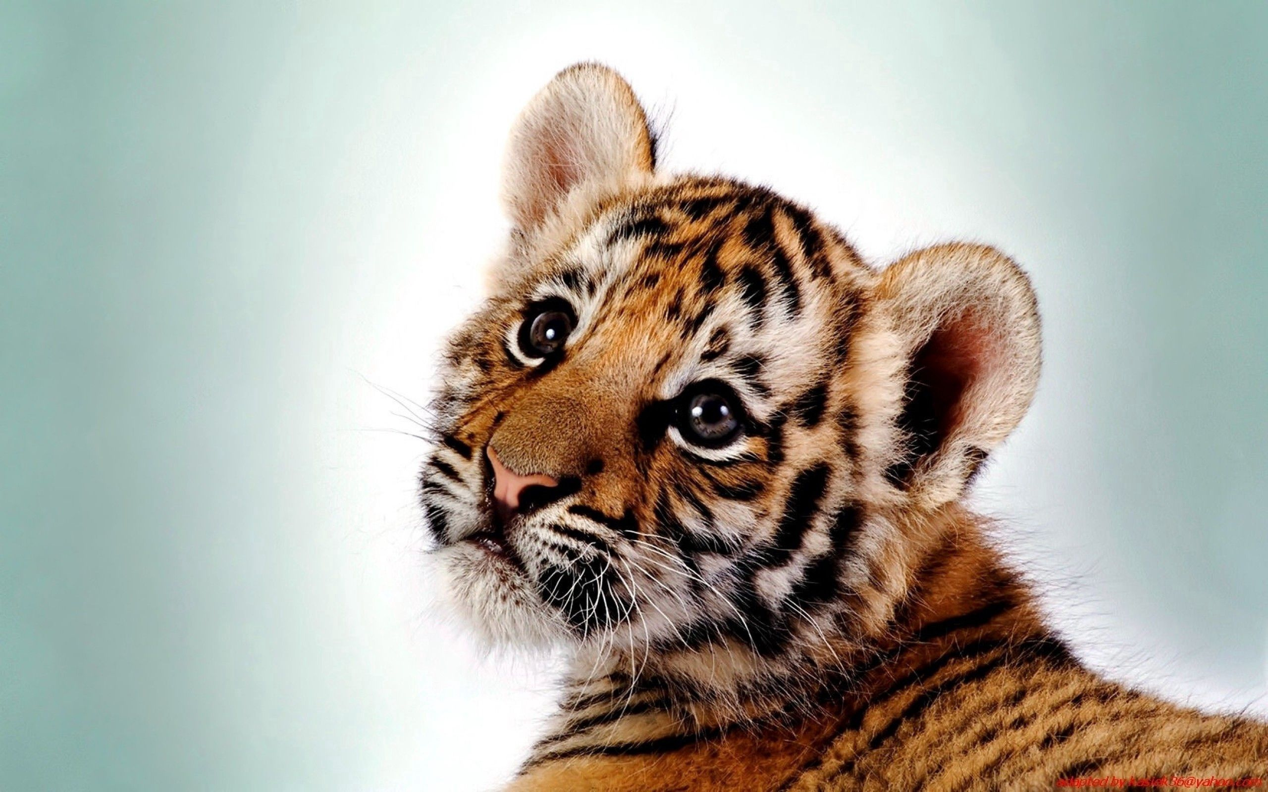 55735 Screensavers and Wallpapers Kitten for phone. Download Tiger, Animals, Young, Kitty, Kitten, Predator, Big Cat, Joey pictures for free
