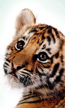 55735 скачать обои Животные, Тигр, Котенок, Большая Кошка, Детеныш, Хищник - заставки и картинки бесплатно