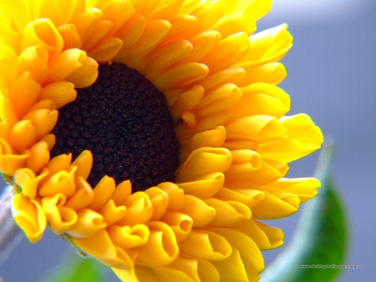 Скачать картинку Растения, Подсолнухи в телефон бесплатно.