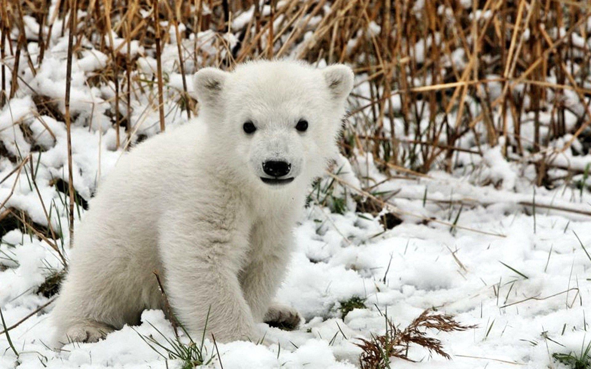 52363 Hintergrundbild herunterladen Eisbär, Tiere, Grass, Schnee, Junge, Bär, Angst, Joey - Bildschirmschoner und Bilder kostenlos