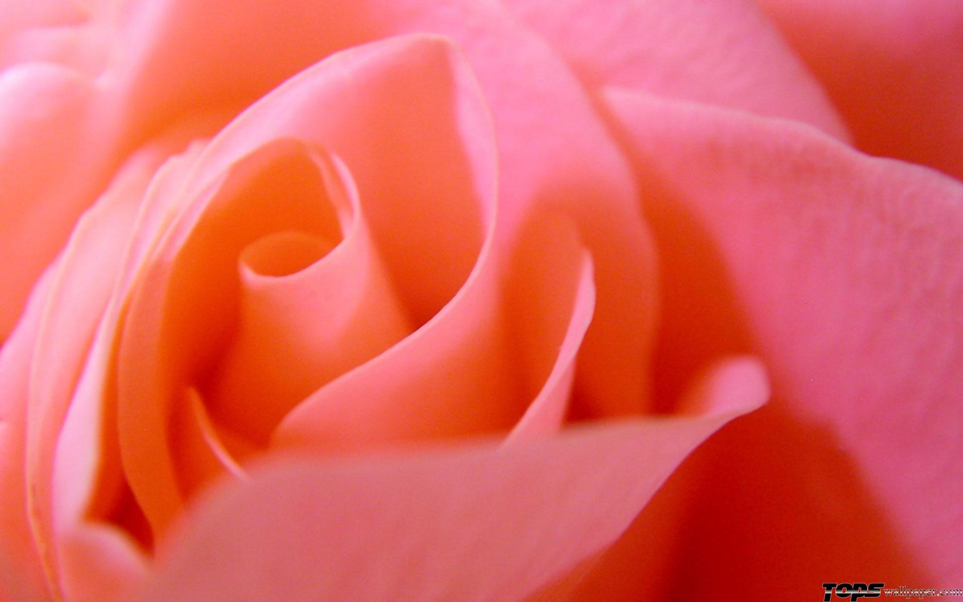 27164 скачать обои Растения, Цветы, Фон, Розы - заставки и картинки бесплатно