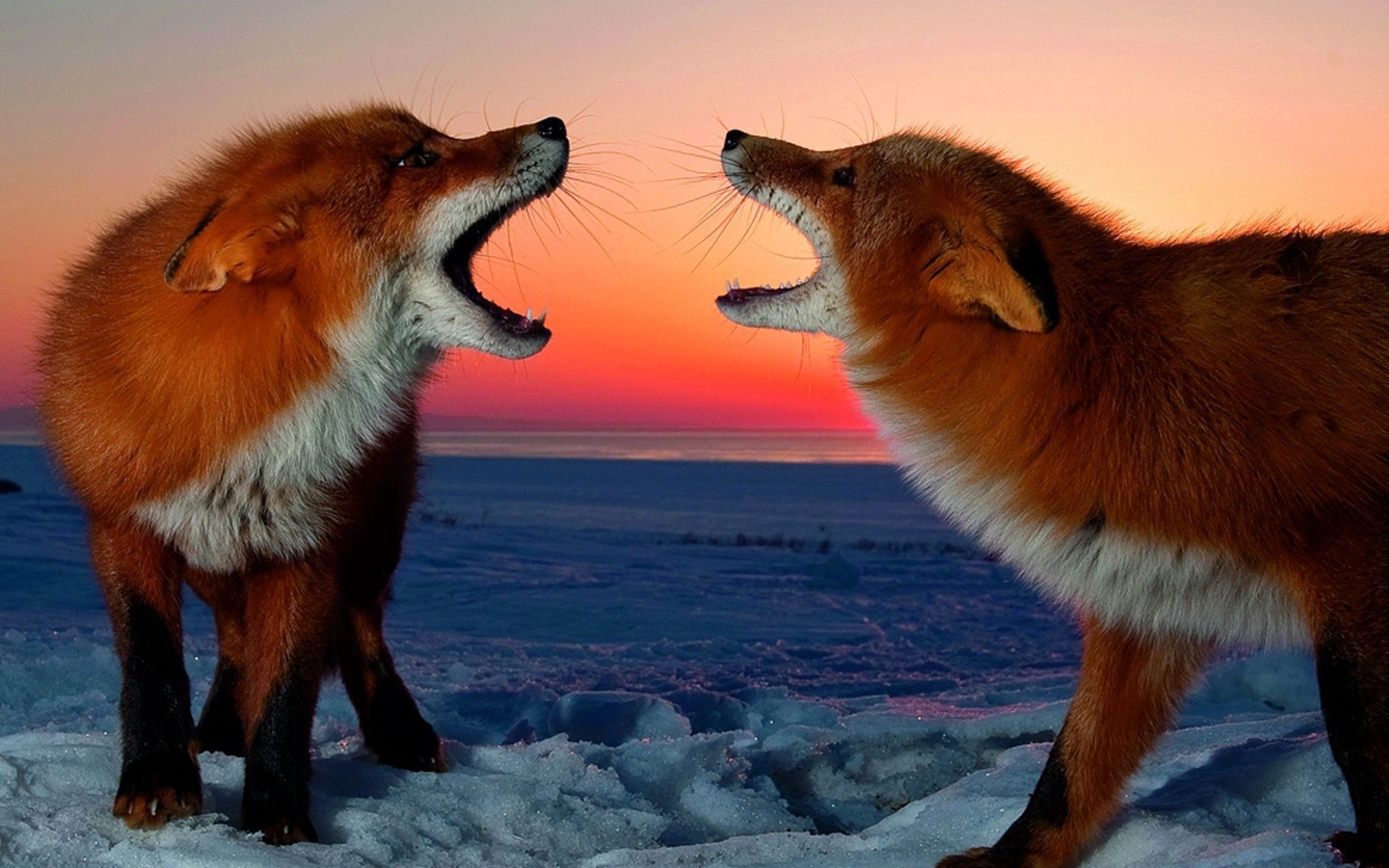 110788 download wallpaper Animals, Couple, Pair, Conflict, Sunset, Fox screensavers and pictures for free
