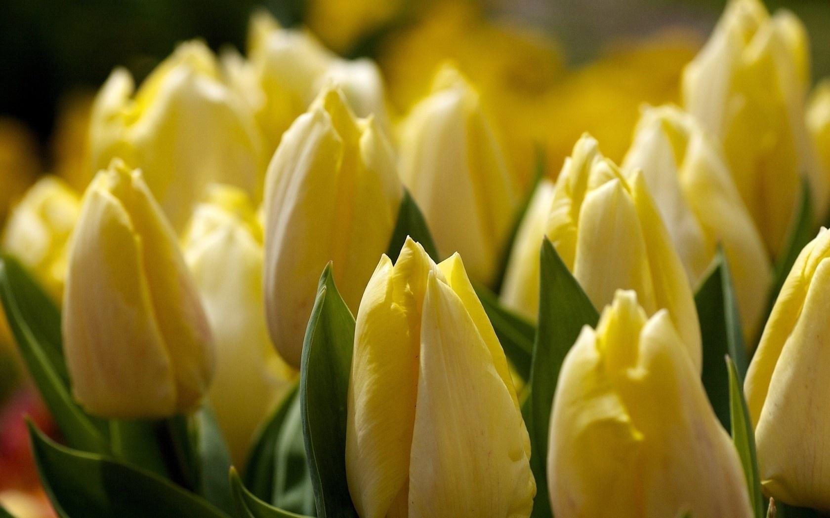 15939 скачать обои Растения, Цветы, Тюльпаны - заставки и картинки бесплатно