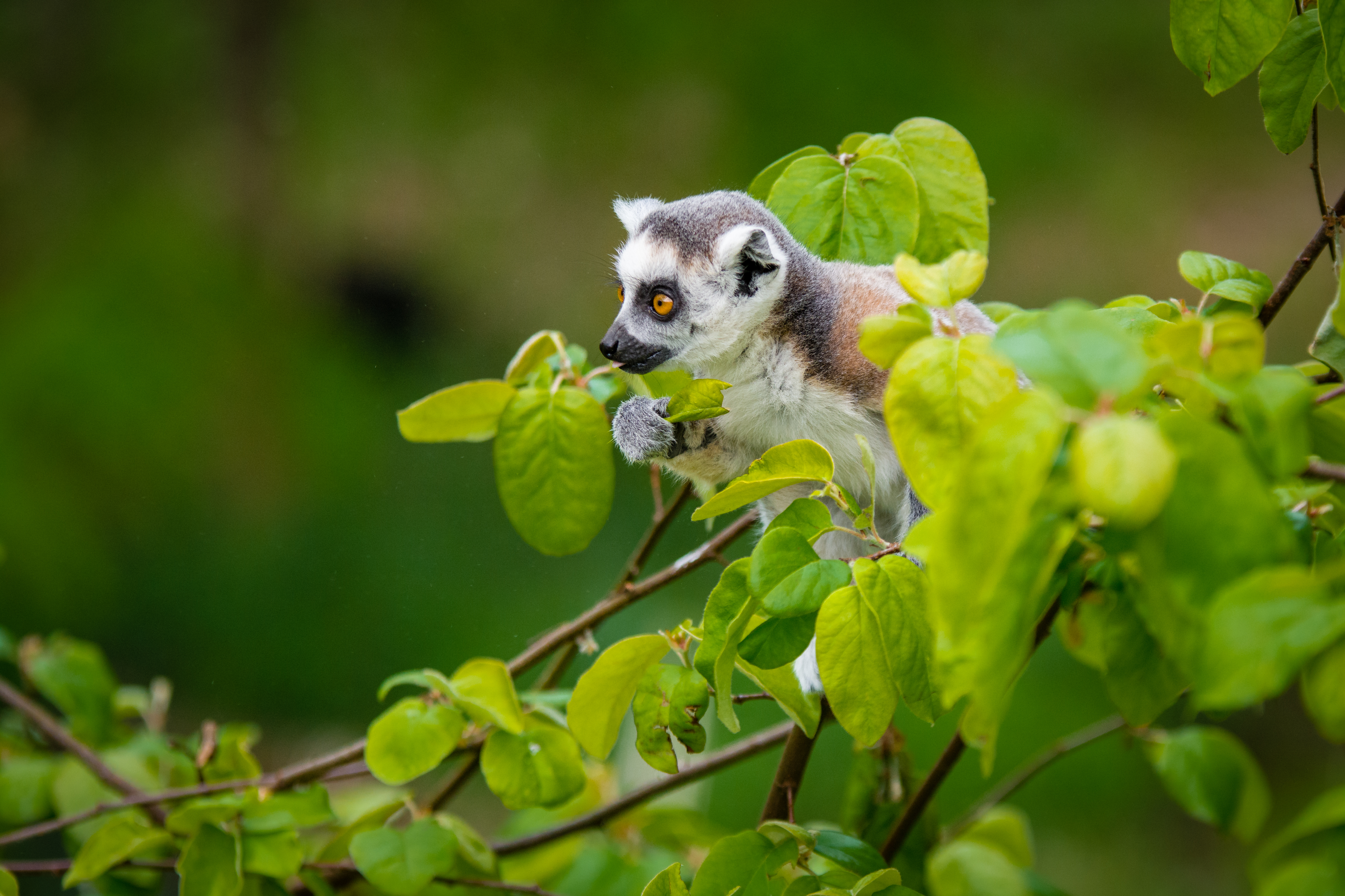58166 download wallpaper Animals, Lemur, Branches, Is Sitting, Sits, Curious screensavers and pictures for free