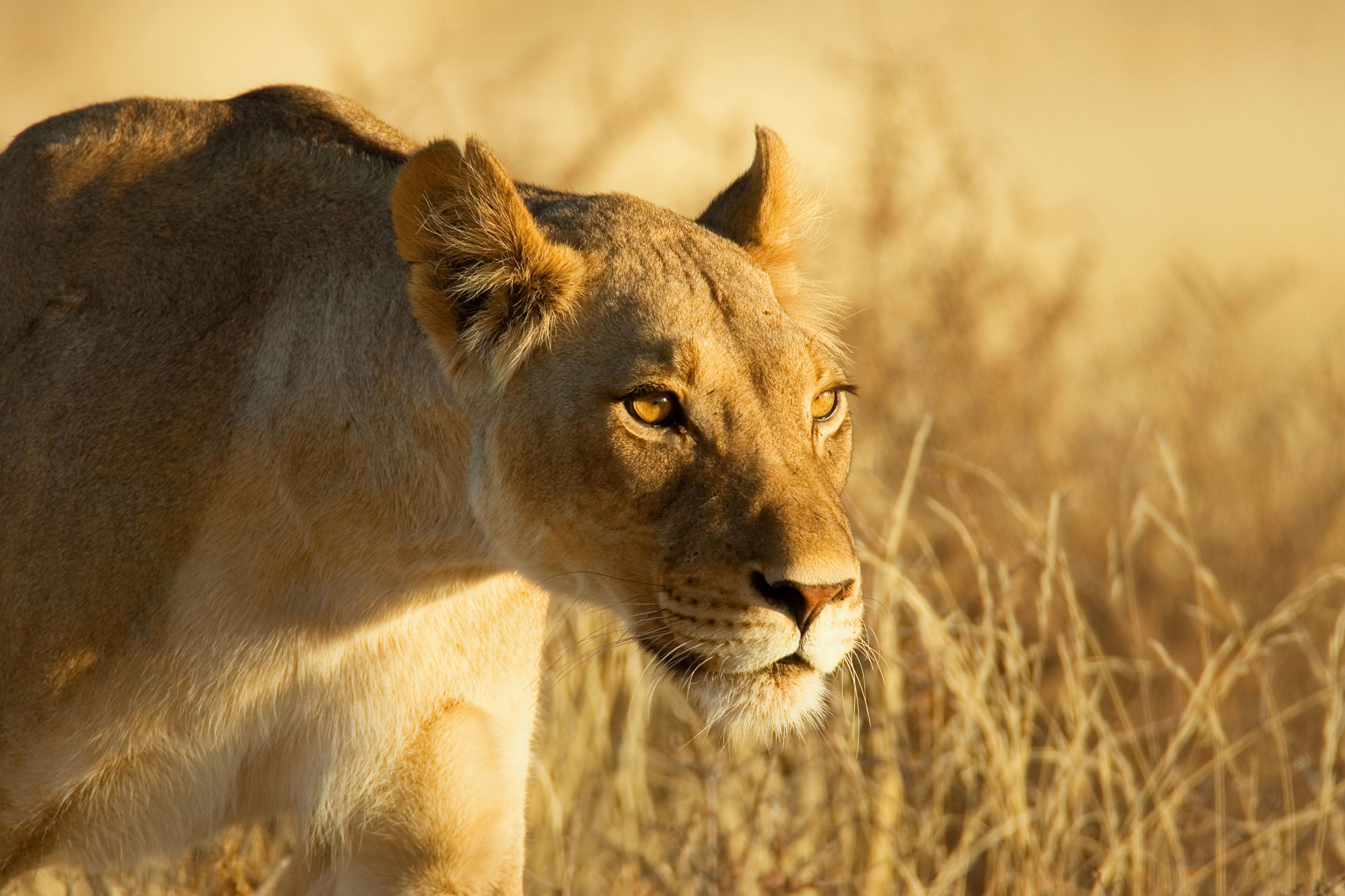 53494 download wallpaper Animals, Lion, Muzzle, Lioness, Grass screensavers and pictures for free