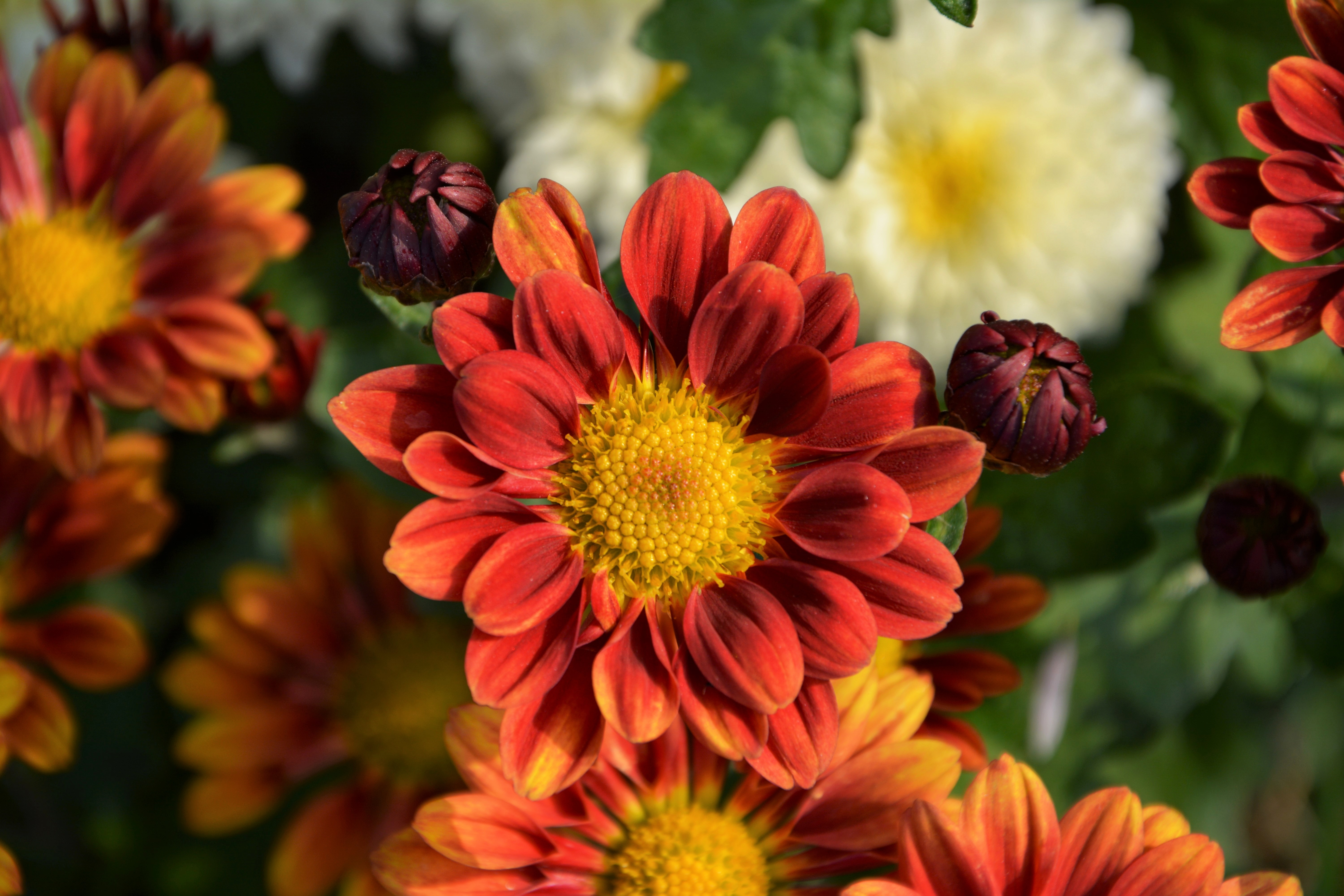 79074 Screensavers and Wallpapers Petals for phone. Download Flowers, Chrysanthemum, Flower, Petals pictures for free
