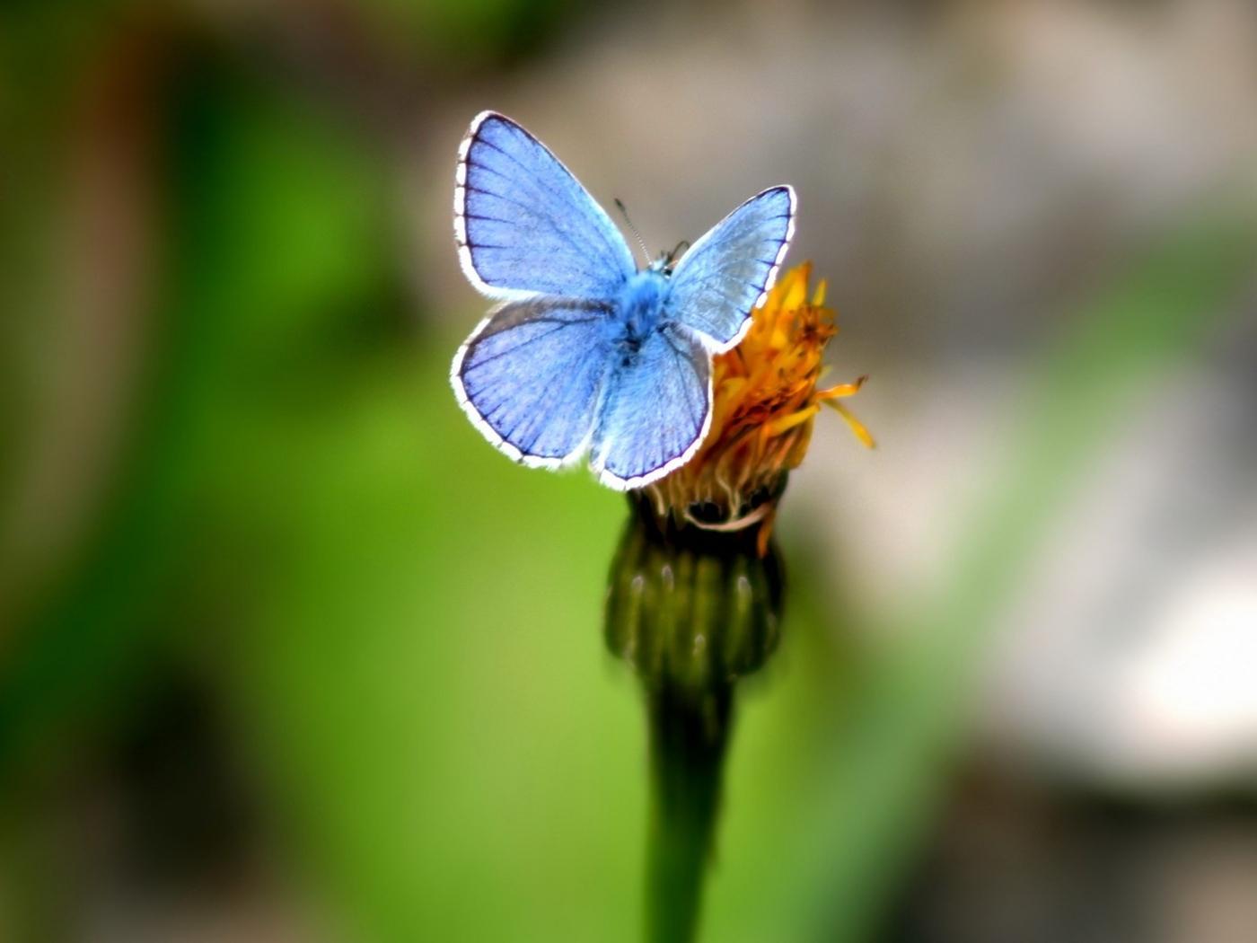 34962 descargar fondo de pantalla Mariposas, Insectos: protectores de pantalla e imágenes gratis