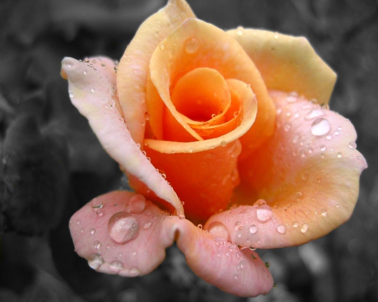 7031 скачать обои Растения, Цветы, Розы - заставки и картинки бесплатно