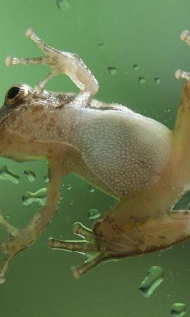 9873 baixar papel de parede Animais, Frogs - protetores de tela e imagens gratuitamente