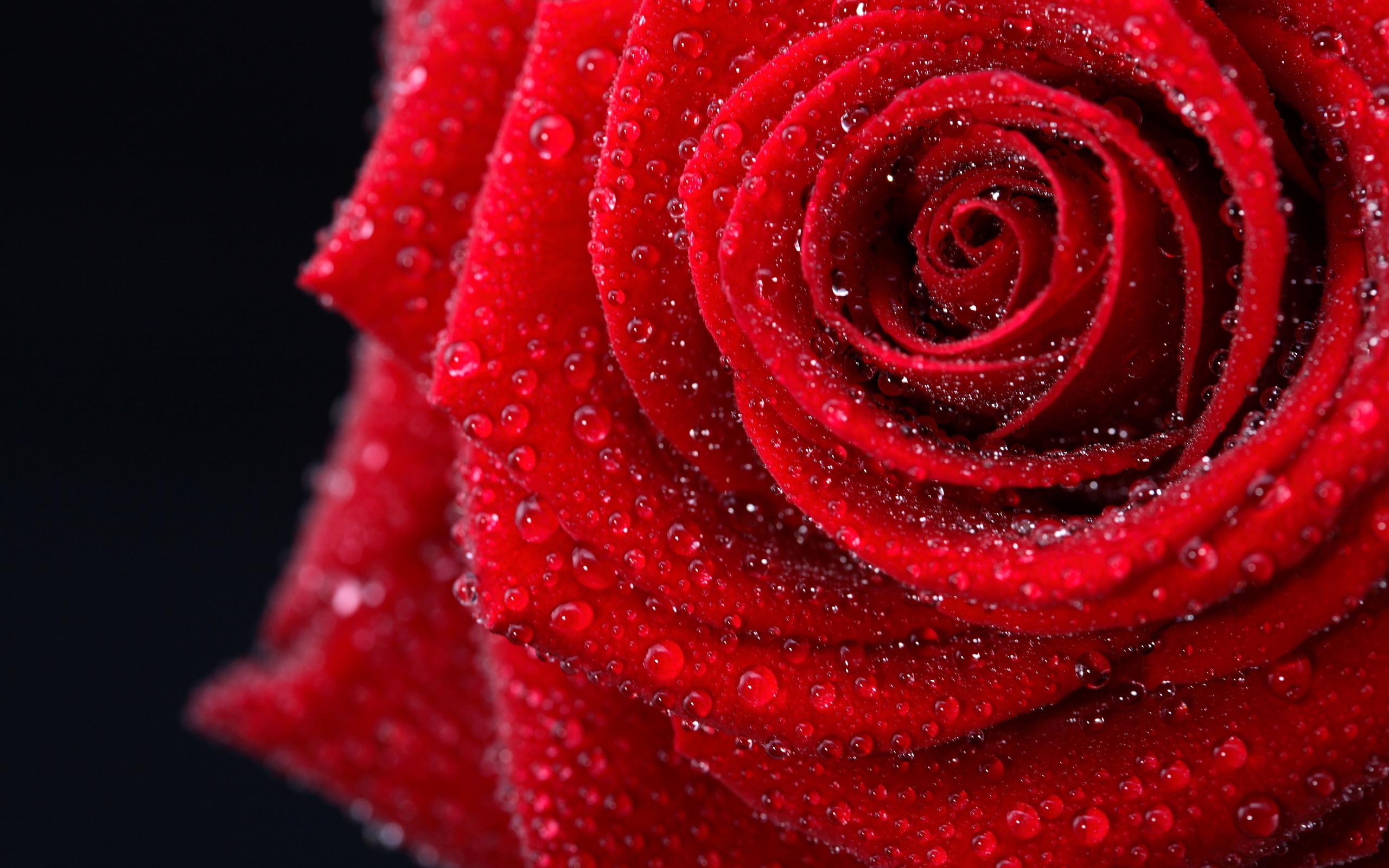 20918 télécharger le fond d'écran Plantes, Fleurs, Roses, Drops - économiseurs d'écran et images gratuitement