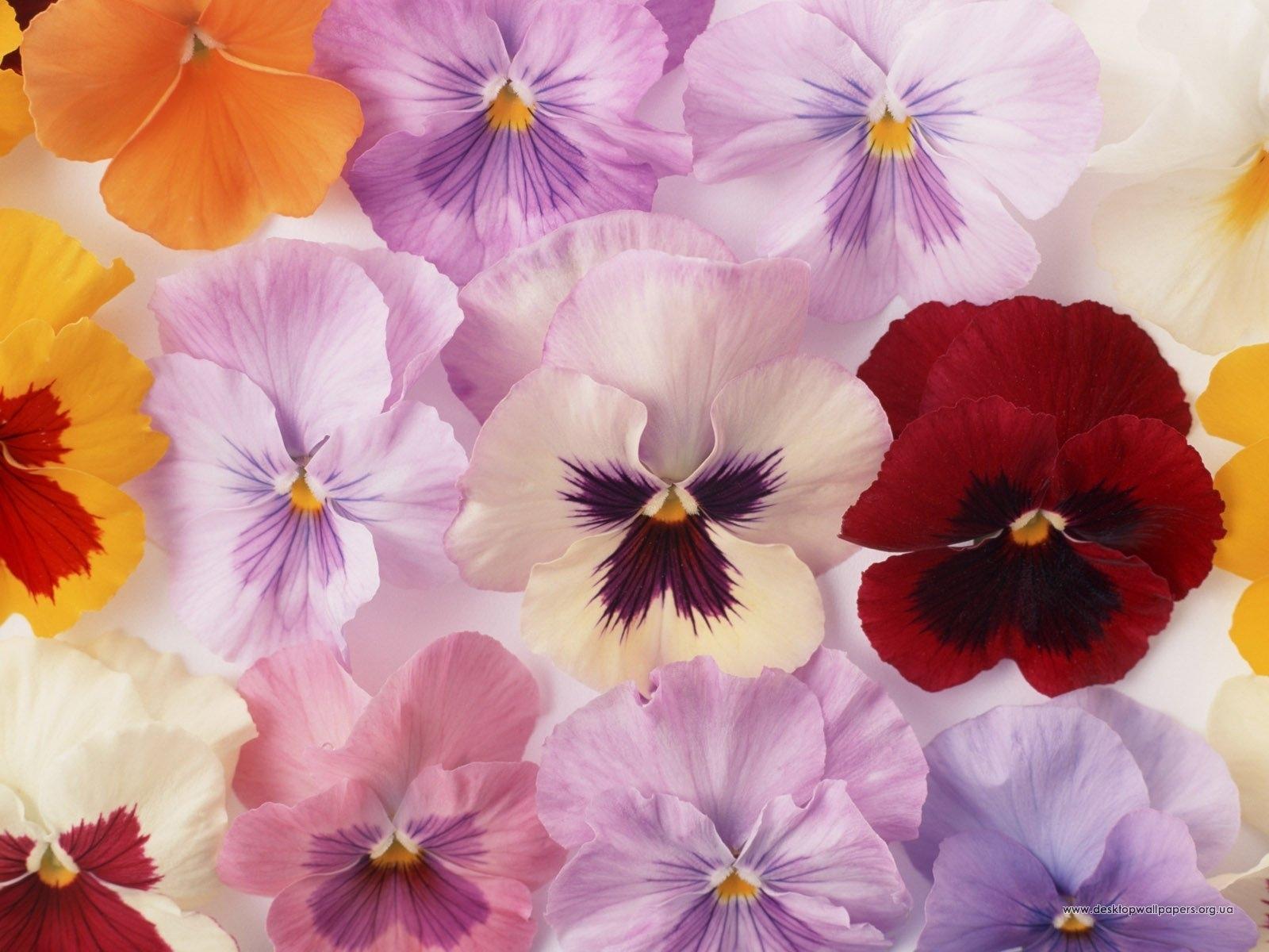 7450 скачать обои Растения, Цветы, Анютины Глазки - заставки и картинки бесплатно
