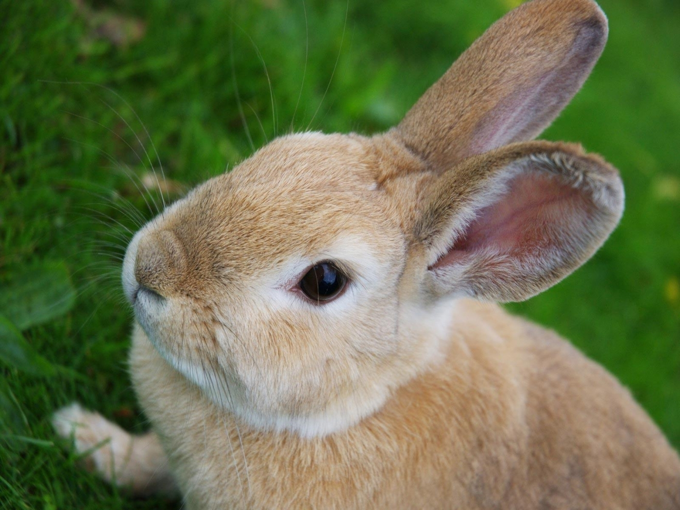 43695 download wallpaper Animals, Rabbits screensavers and pictures for free