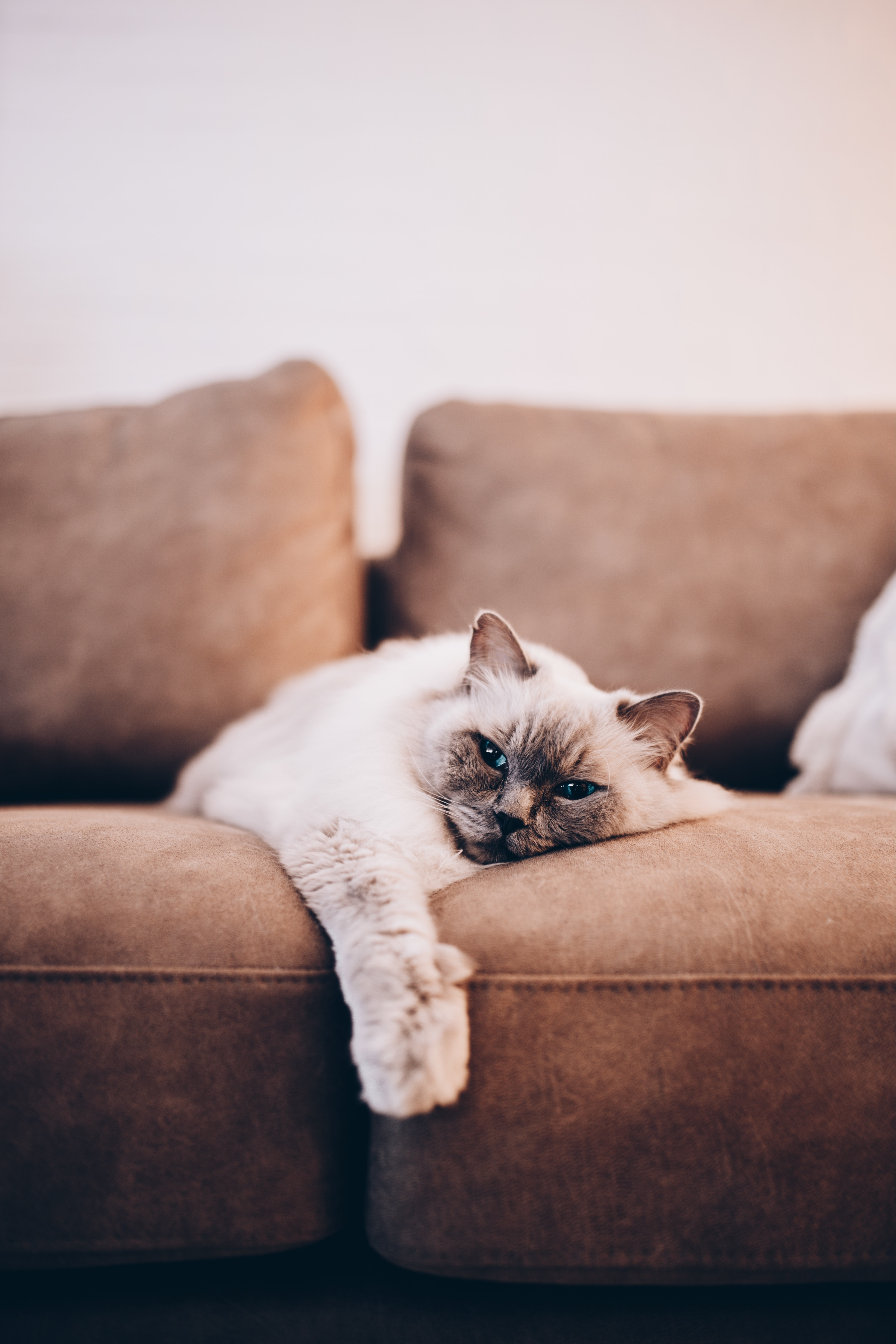 132896 Screensavers and Wallpapers Pet for phone. Download Animals, Siamese Cat, Cat, Pet, Grey pictures for free