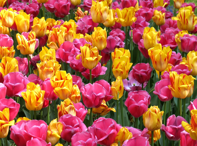 145356 Заставки и Обои Тюльпаны на телефон. Скачать Цветы, Клумба, Распущенные, Яркие, Тюльпаны картинки бесплатно
