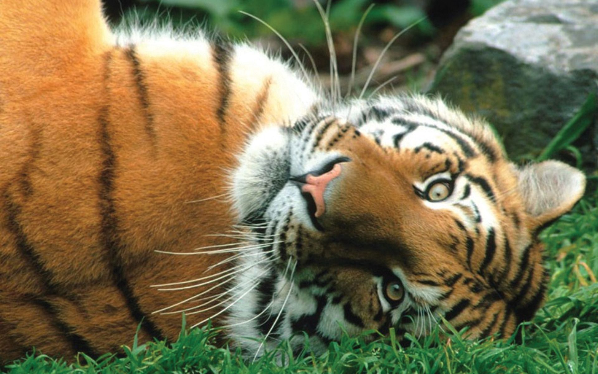 64945 download wallpaper Animals, Tiger, Striped, Predator, Big Cat screensavers and pictures for free