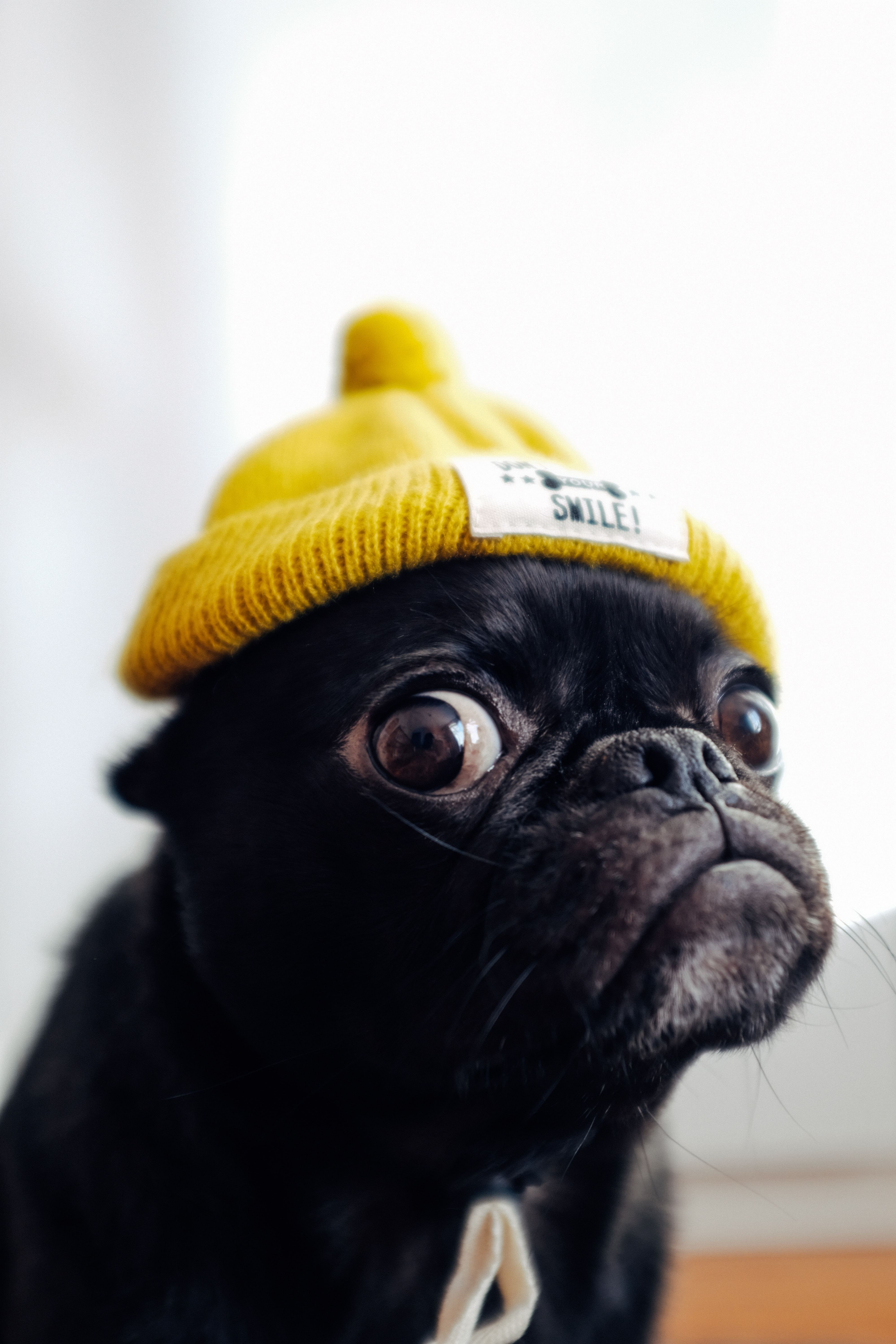 Free wallpaper 74280: Animals, Pug, Dog, Cap, Funny, Pet download pictures for cellphone