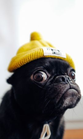 74280 download wallpaper Animals, Pug, Dog, Cap, Funny, Pet screensavers and pictures for free
