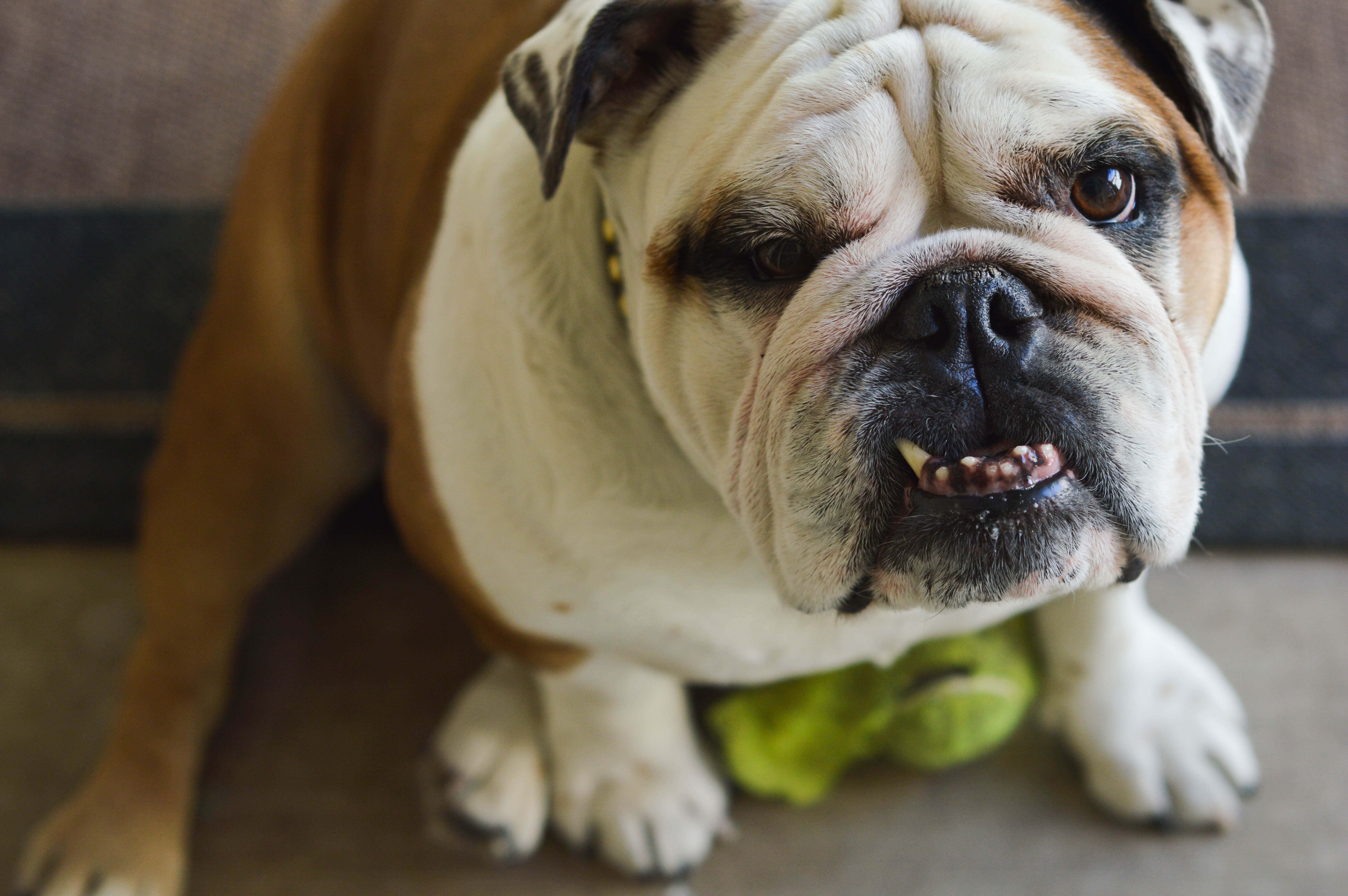 85741 download wallpaper Animals, Bulldog, Dog, Muzzle, Grin screensavers and pictures for free