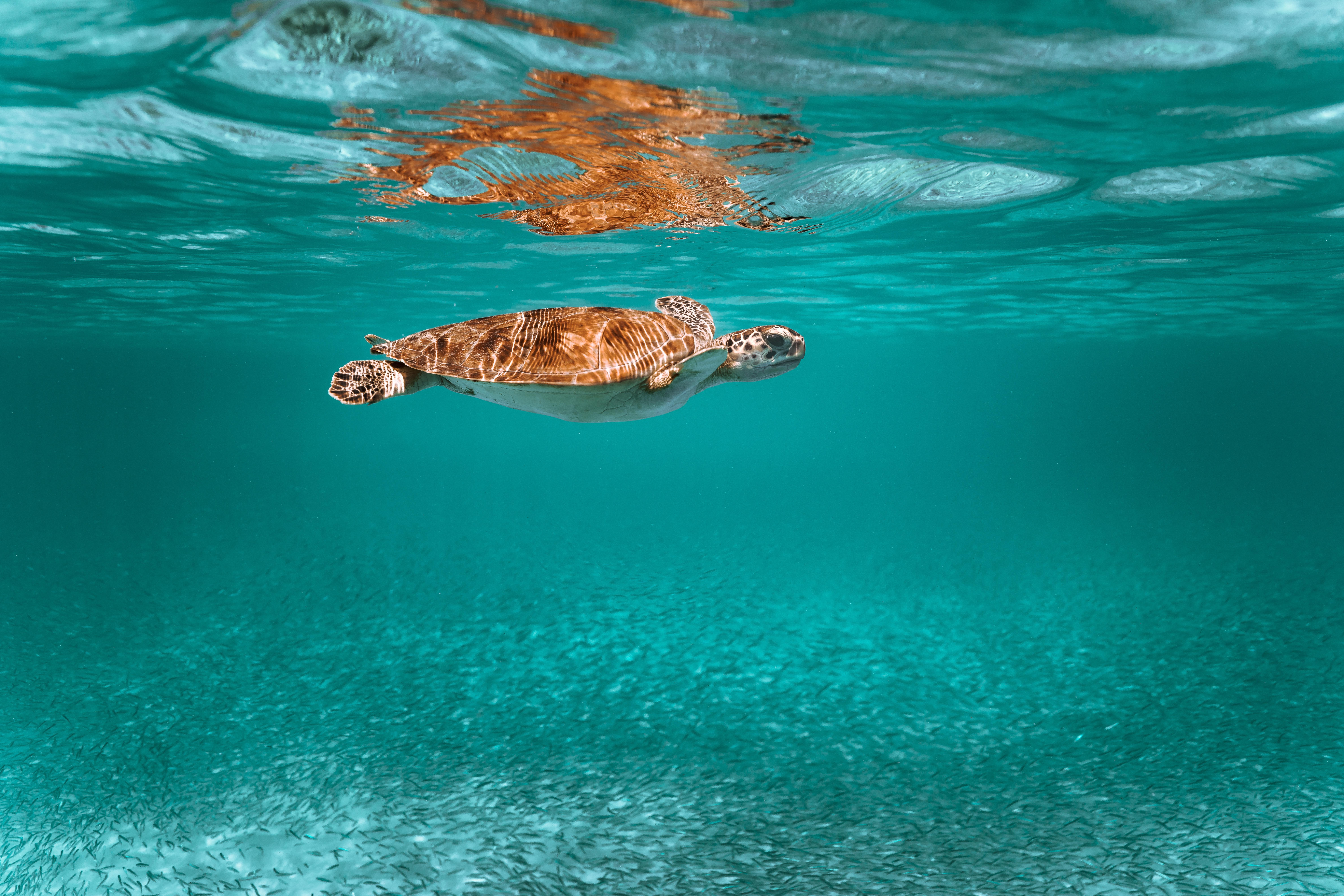 97530 скачать обои Животные, Черепаха, Животное, Подводный Мир, Вода - заставки и картинки бесплатно