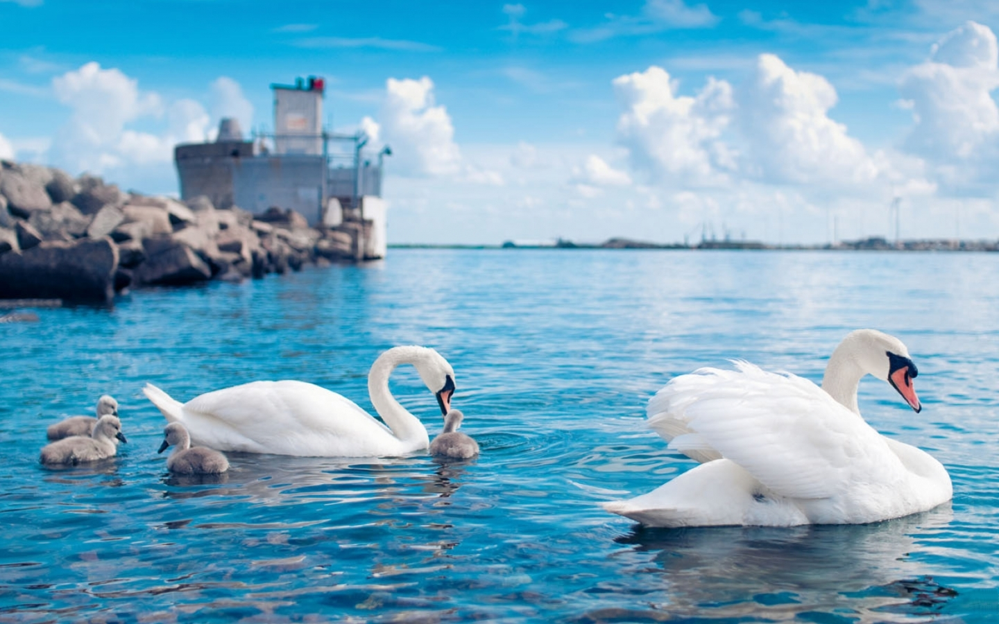 28547 download wallpaper Animals, Birds, Swans screensavers and pictures for free