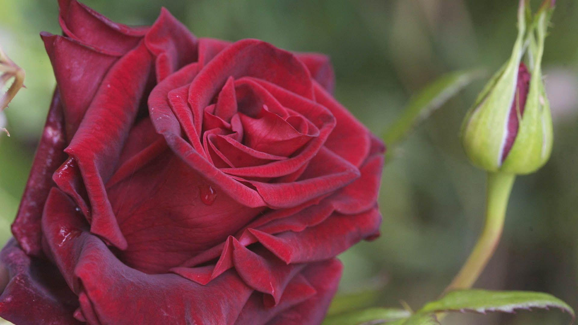 63073 Hintergrundbild 1024x768 kostenlos auf deinem Handy, lade Bilder Pflanze, Makro, Rose, Blütenblätter 1024x768 auf dein Handy herunter