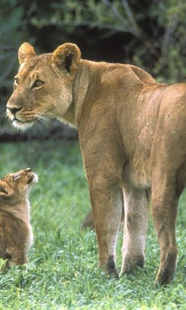 8679 download wallpaper Animals, Lions screensavers and pictures for free
